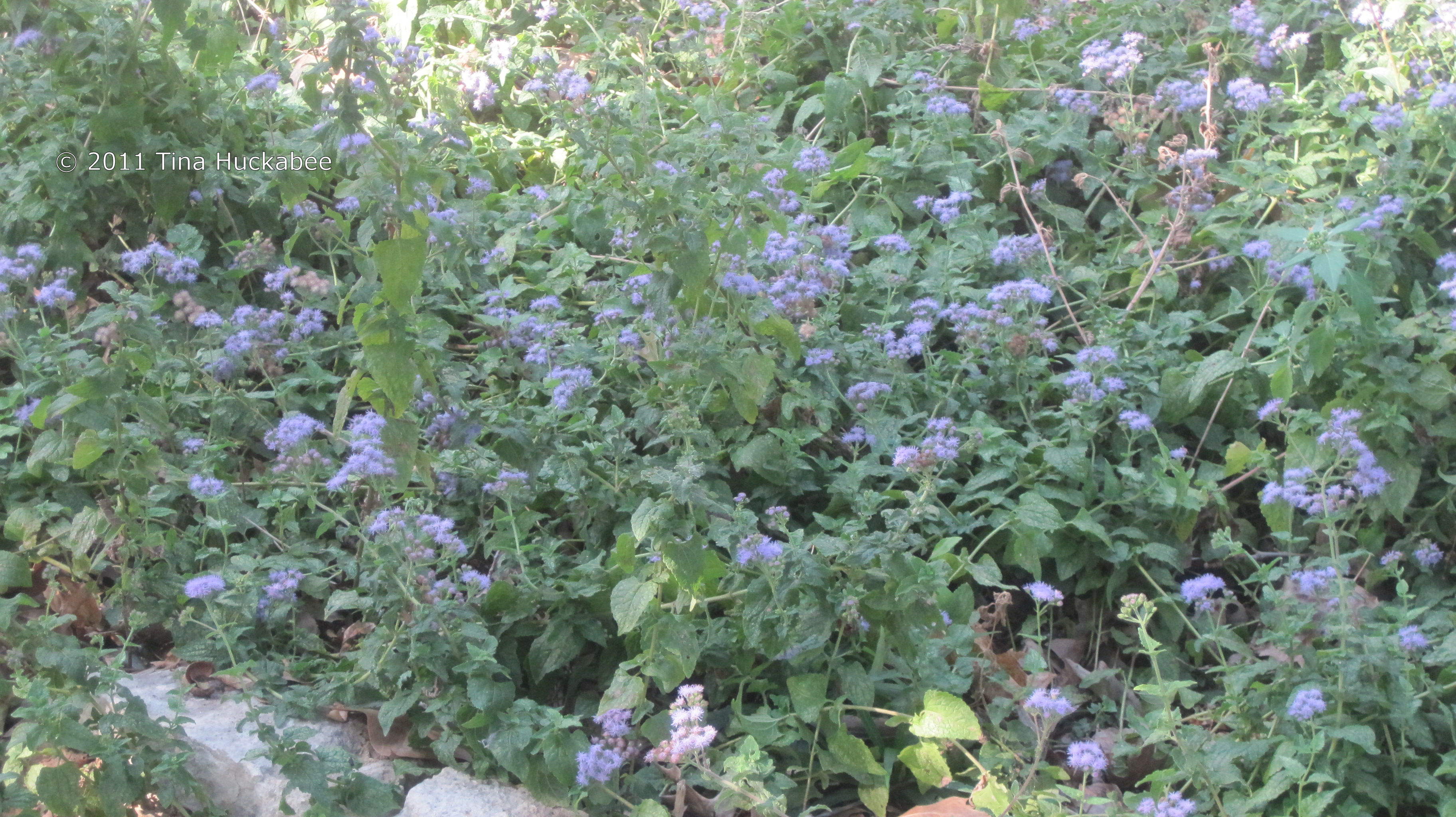 Mistflower palooza my gardener says the beauty of mistflower speaks for itself izmirmasajfo