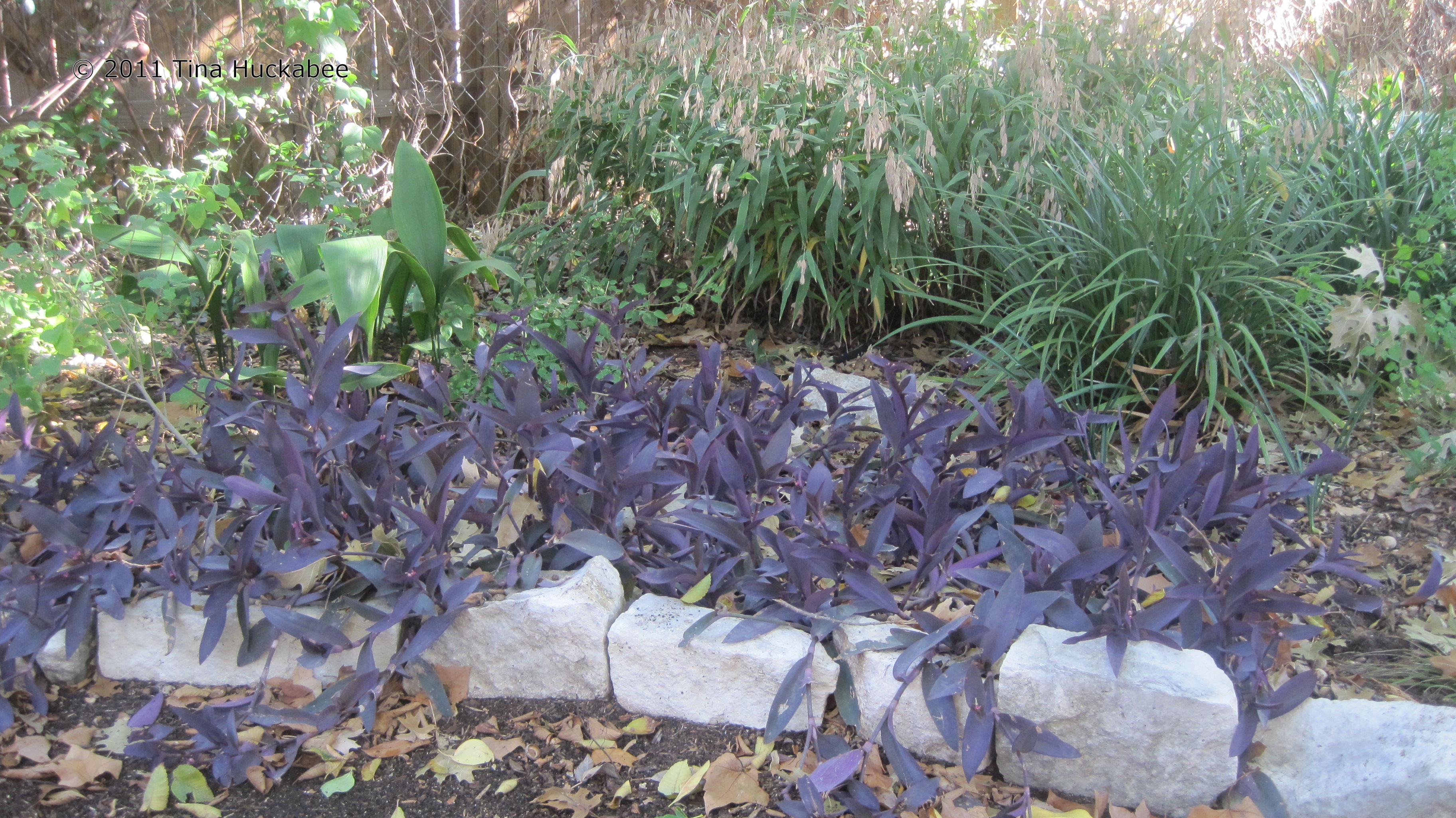 How to plant ground cover for shady areas - It Tends To Bloom More With More Sun And Sometimes Has A Tinge Of Green In The Leaves In Shade It Remains A Deep Purple Usually With A Few Blooms And