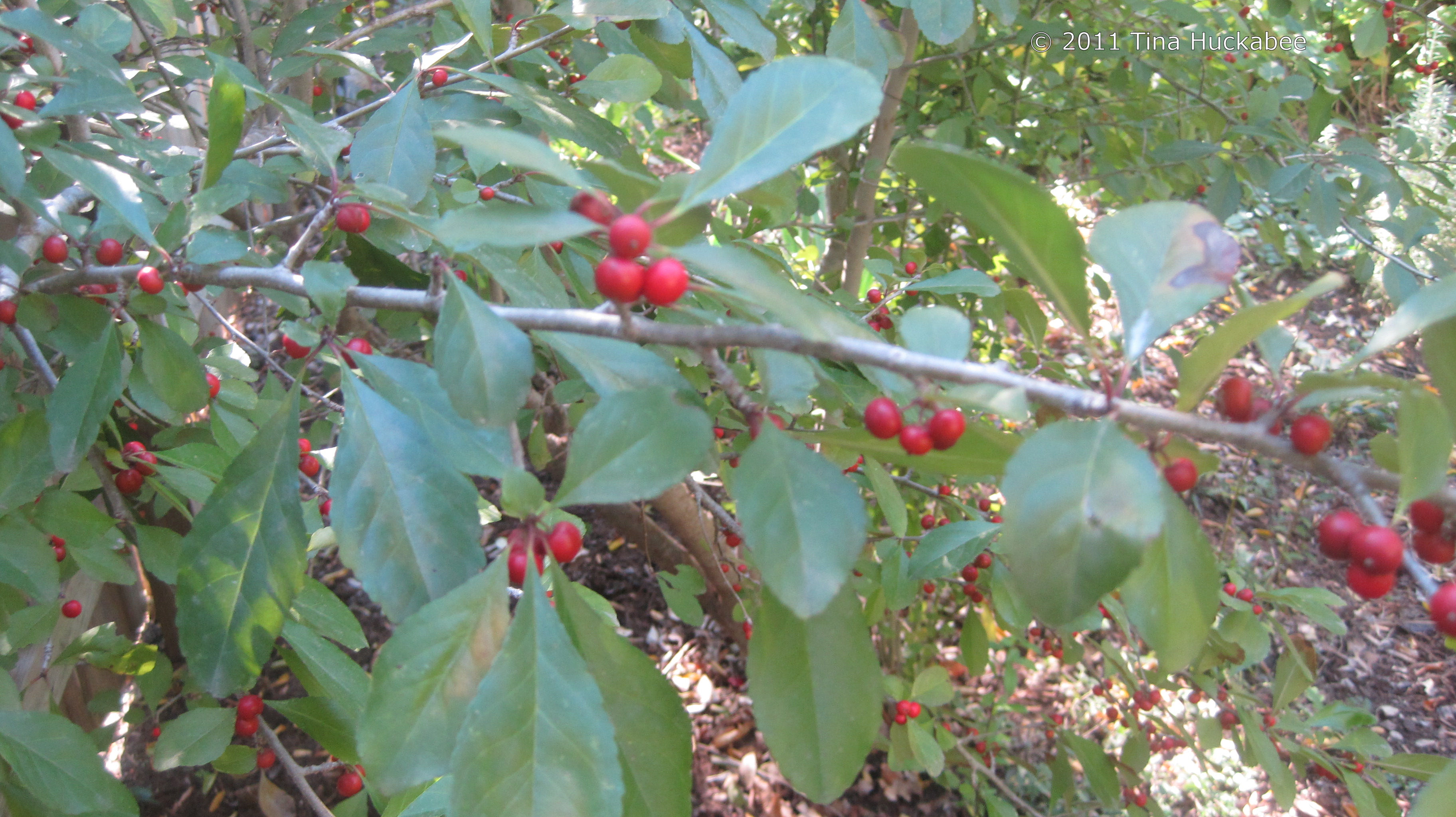 Possumhaw Holly | My Gardener Says…