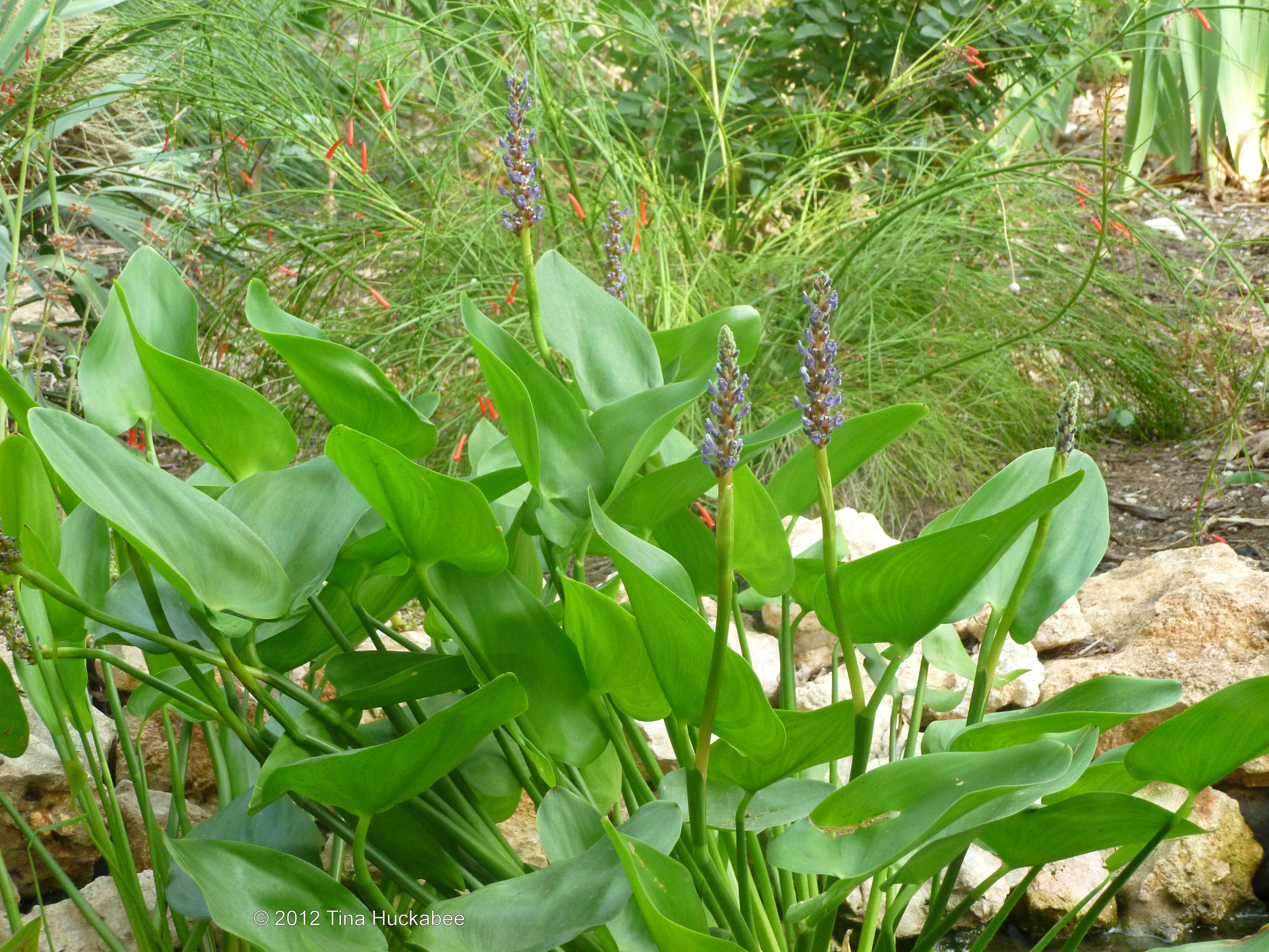 Blues in the garden my gardener says but izmirmasajfo