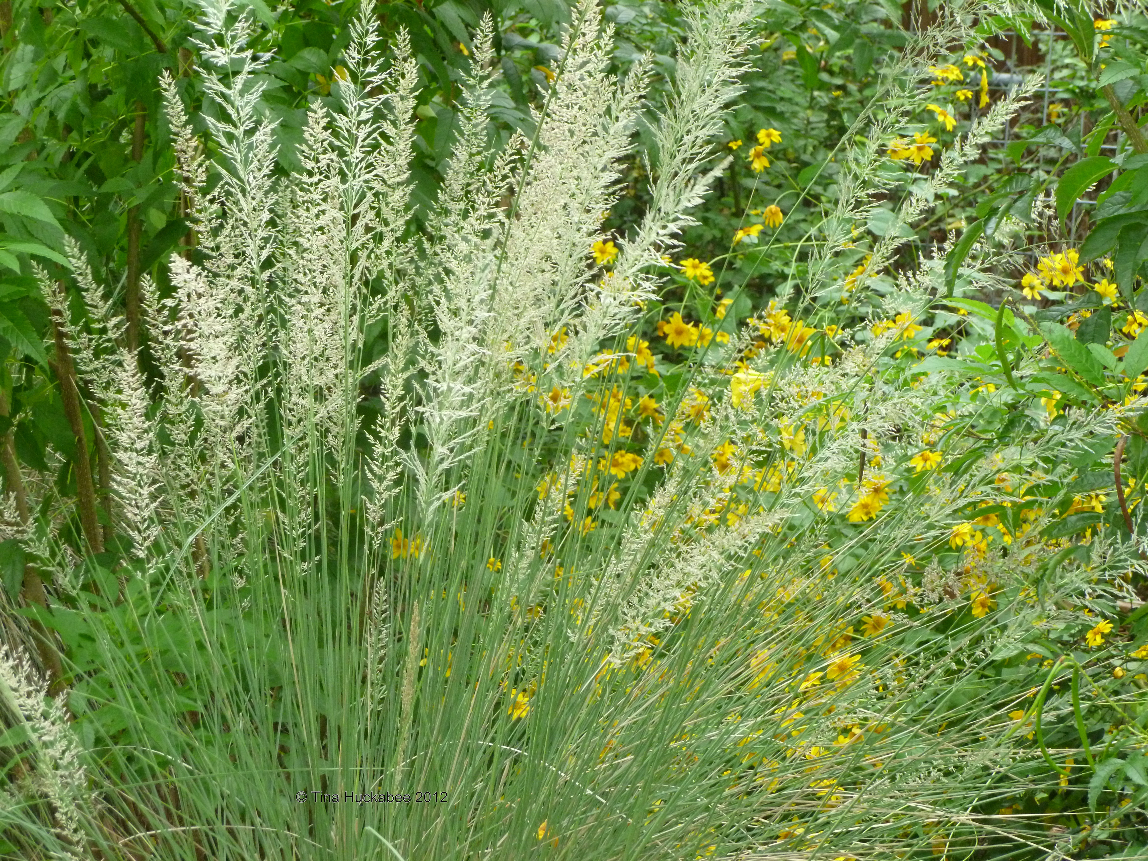 Native grasses of texas for Plants and grass