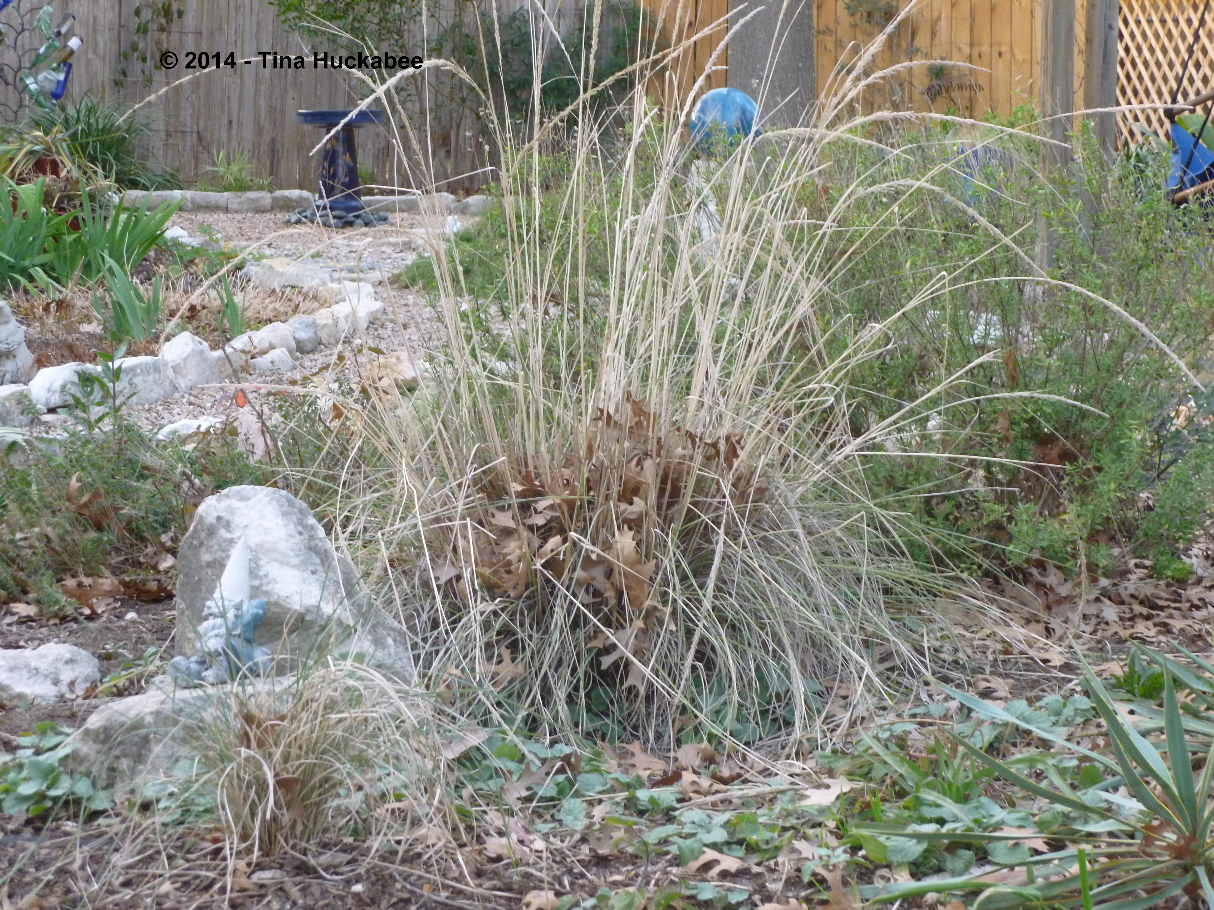 Big muhly my gardener says p1020648w workwithnaturefo