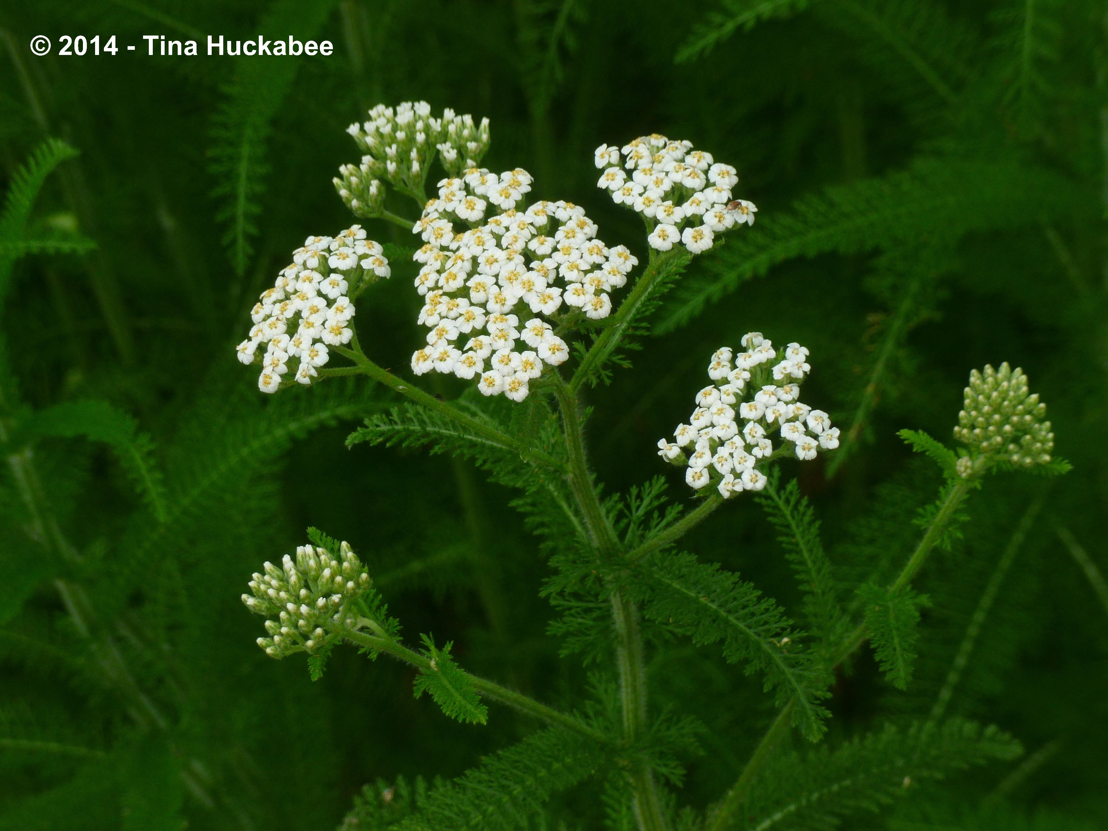May 2014 my gardener says yarrow is an excellent perennial for central texas it sports pretty white flowers which will fade to an attractive tawny brown as summer progresses dhlflorist Image collections