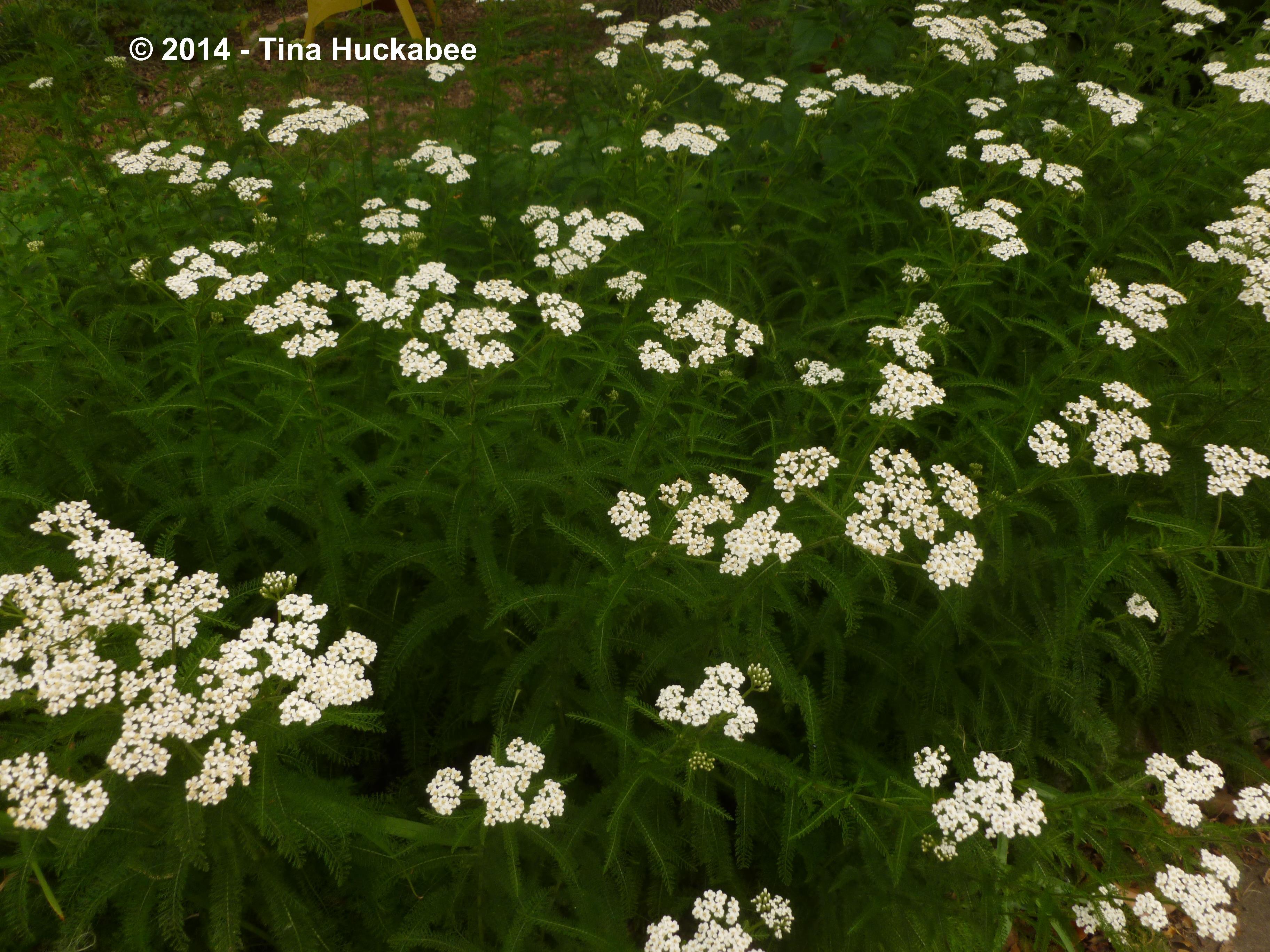 Rivina Humilis My Gardener Says