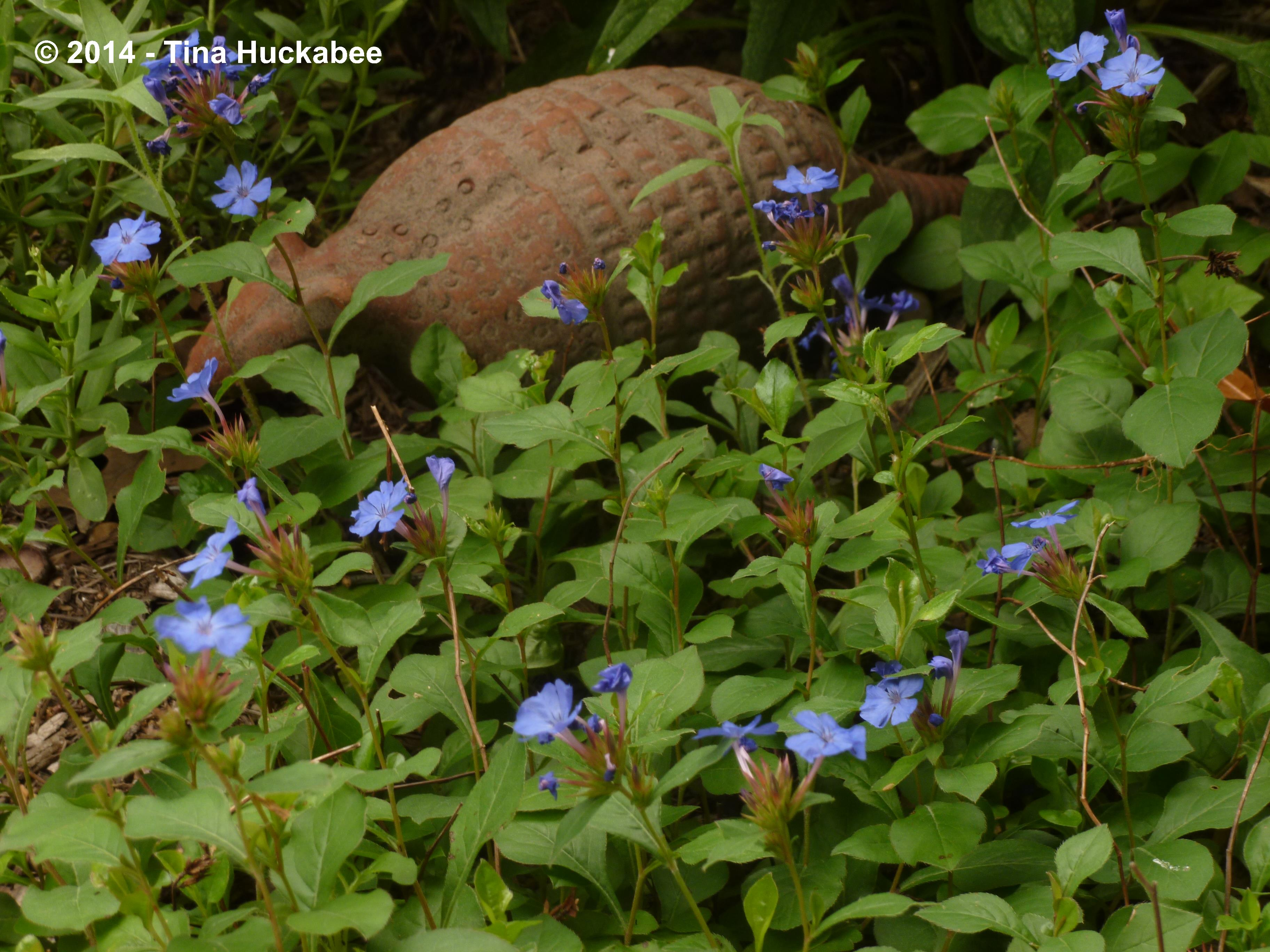 leadwort plumbago  my gardener says…, Natural flower