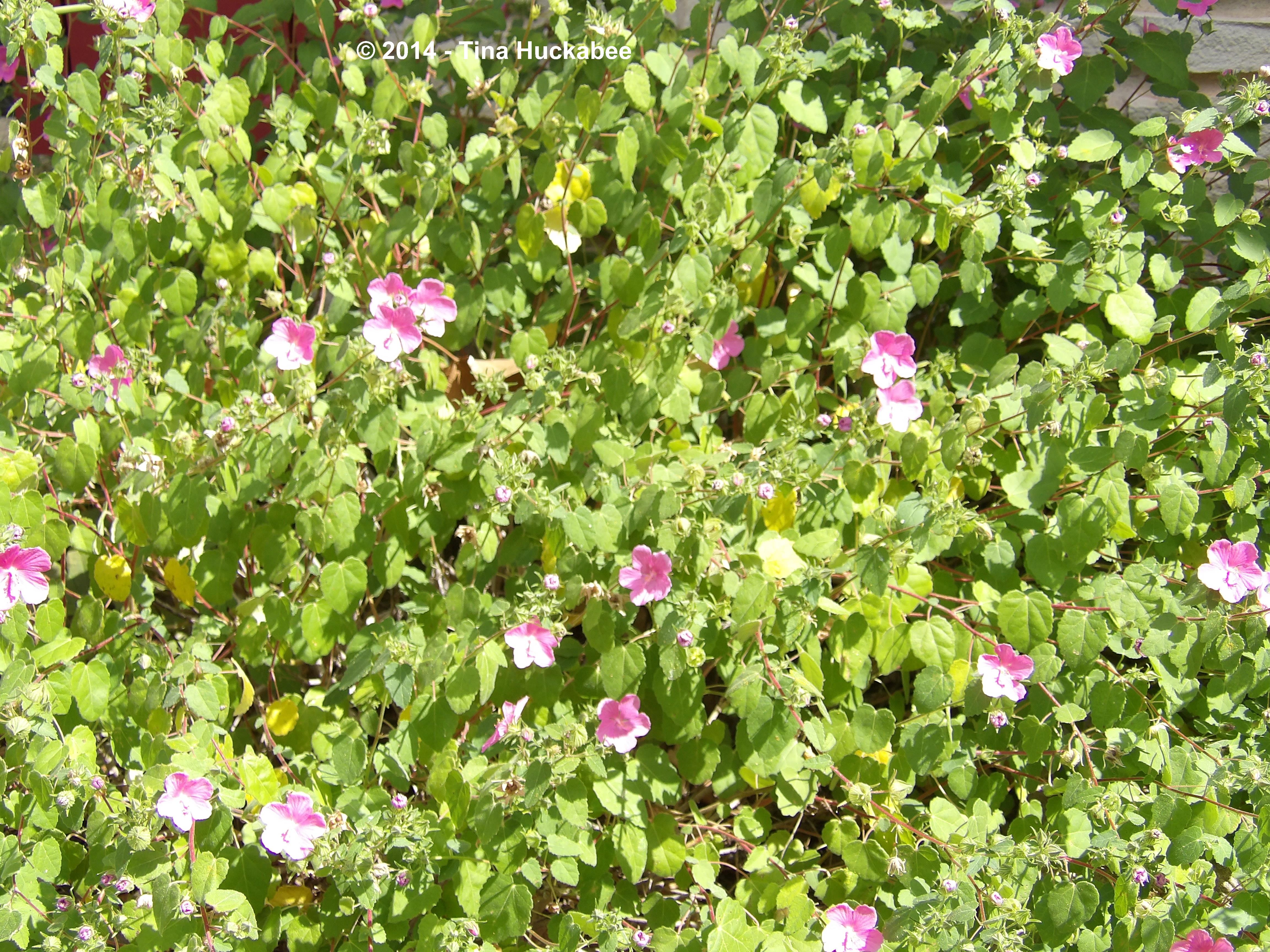 Texas native plant weekrock rose pavonia lasiopetala my gardener the pretty in pink flowers open early in the mornings and close for business by 3 or 4pm during the heat of summer the closing of those blooms is the izmirmasajfo