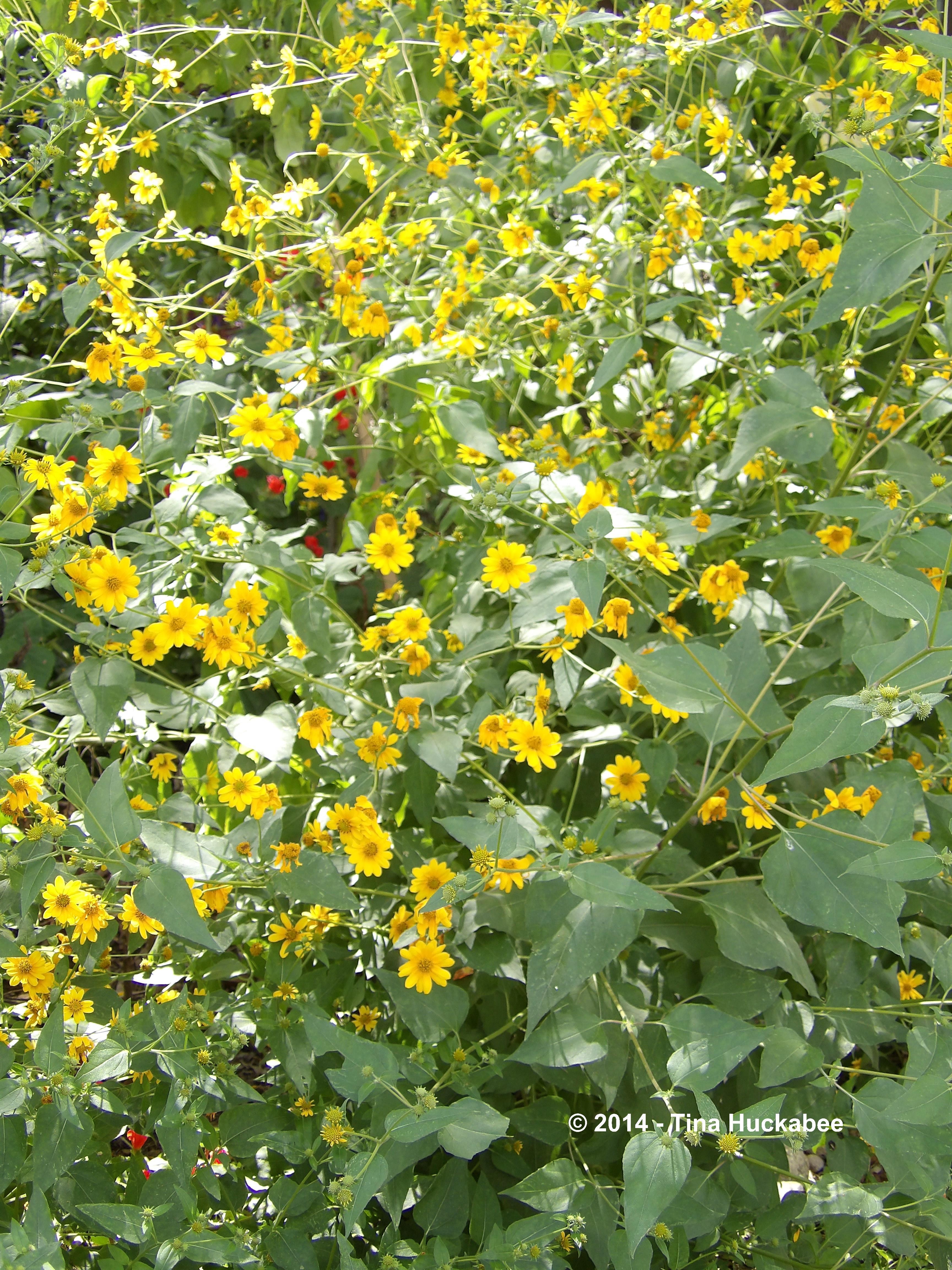 Texas Native Plant Week Goldeneye Viguiera Dentata My Gardener Says
