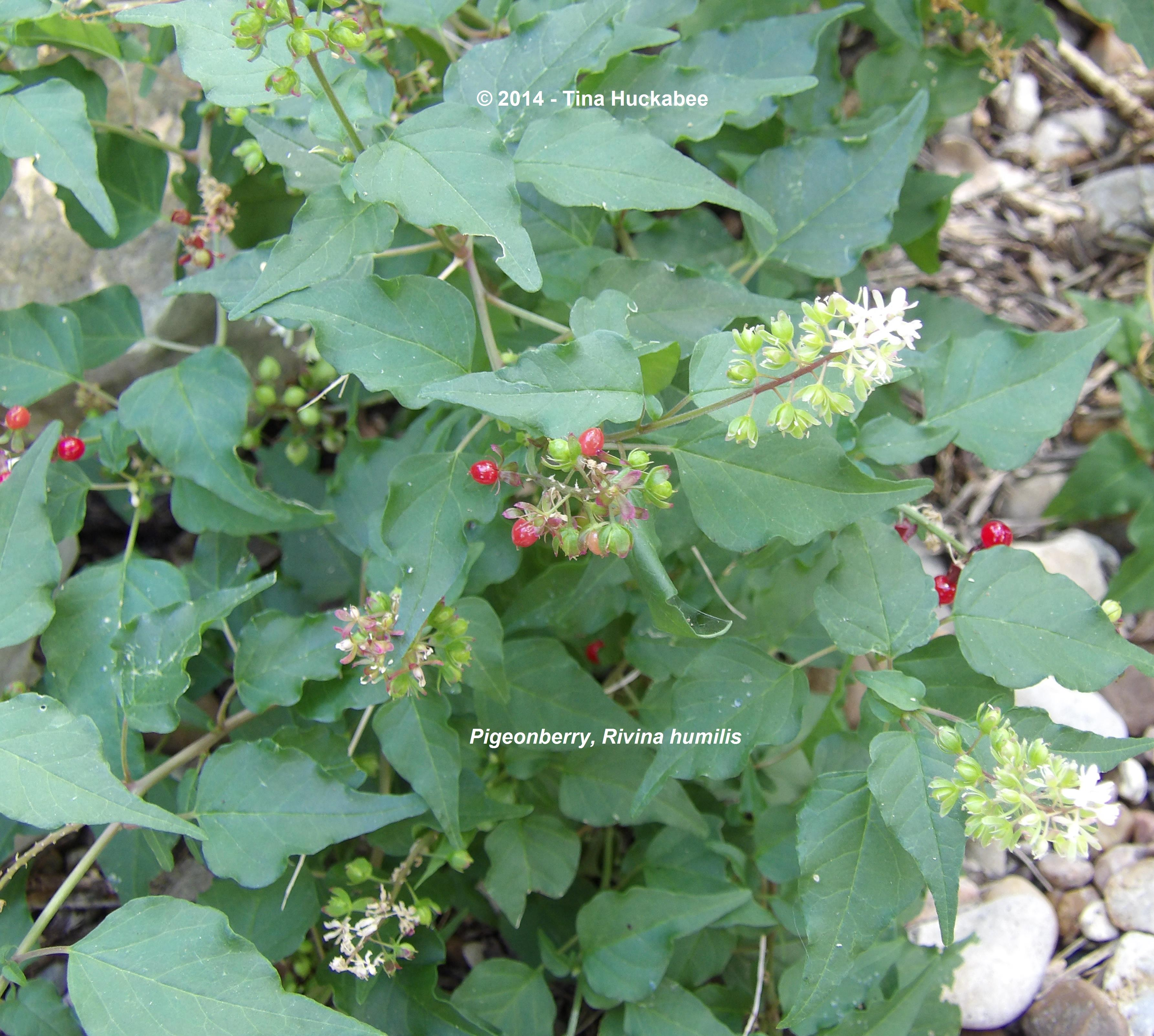 Native Plants In India: Texas Native Plant Week