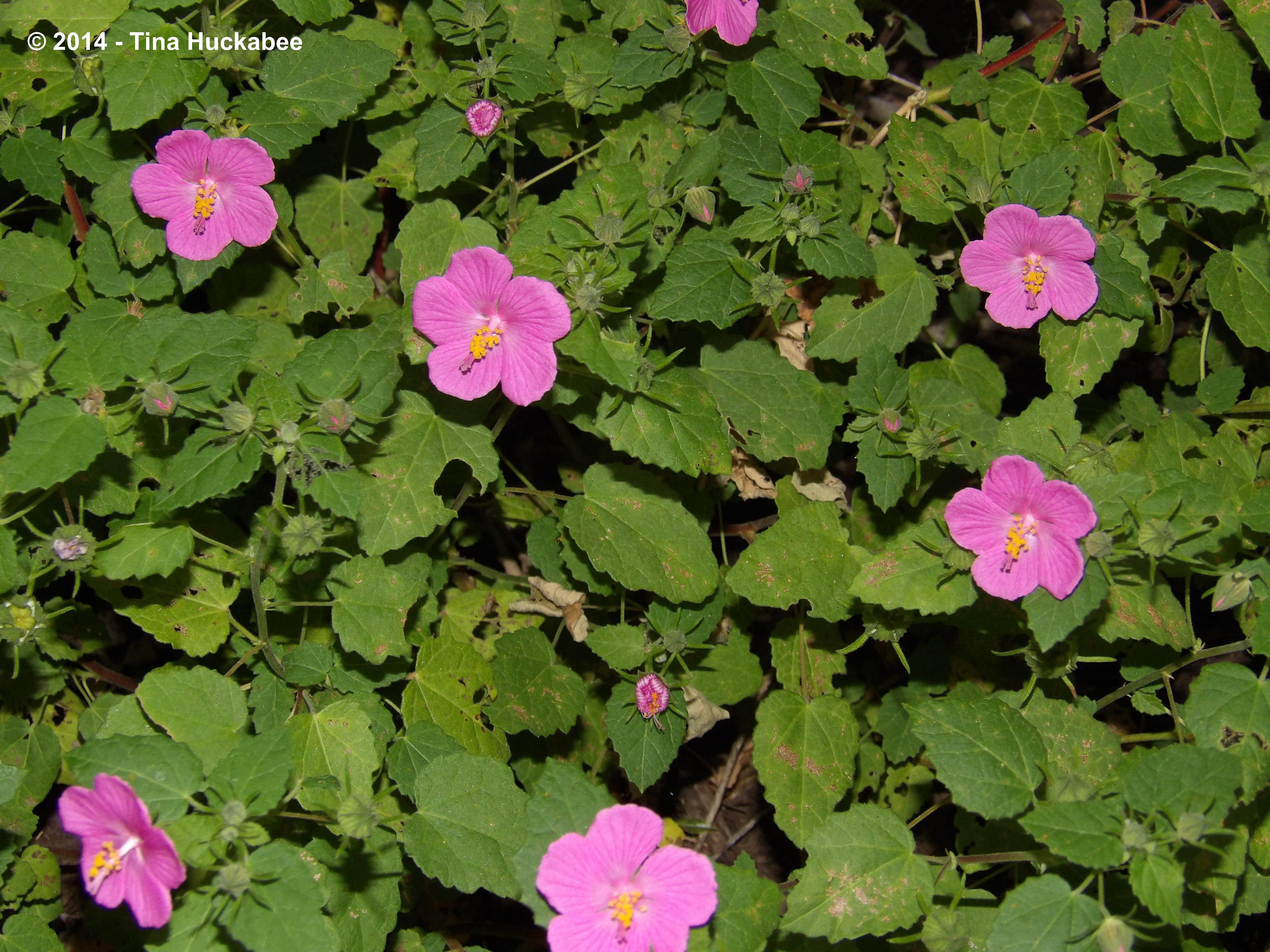 Texas native plant weekrock rose pavonia lasiopetala my gardener this small evergreen perennial blooms late spring throughout summer and into fall and is a texas tough plant rock rose flourishes in a variety of light izmirmasajfo