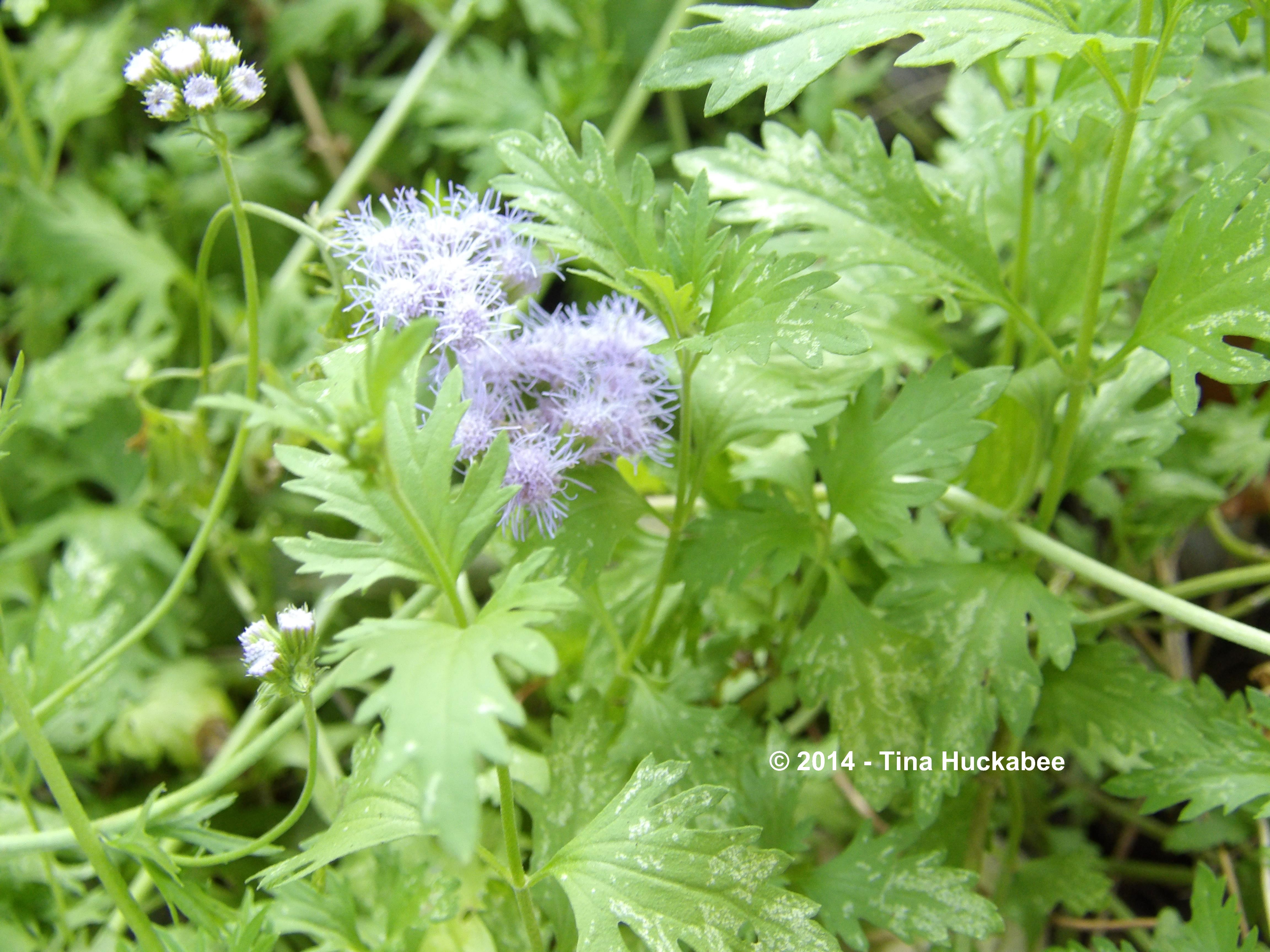 Blue mistflowers my gardener says these two mistflower species are members of the autumn cast of garden performers here in texas they provide nectar for pollinators izmirmasajfo