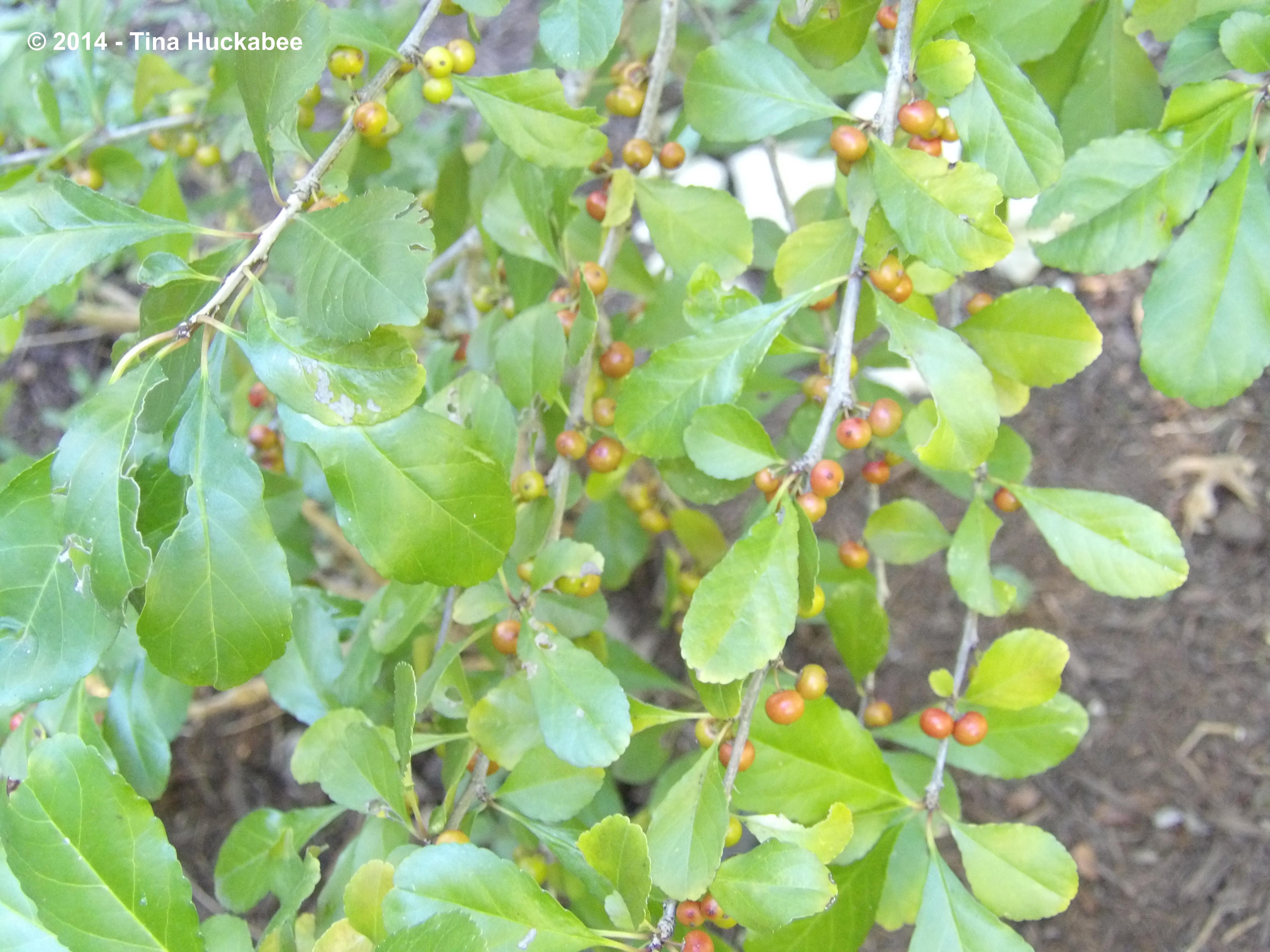 Texas Native Plant Week Seeds N Berries My Gardener Says