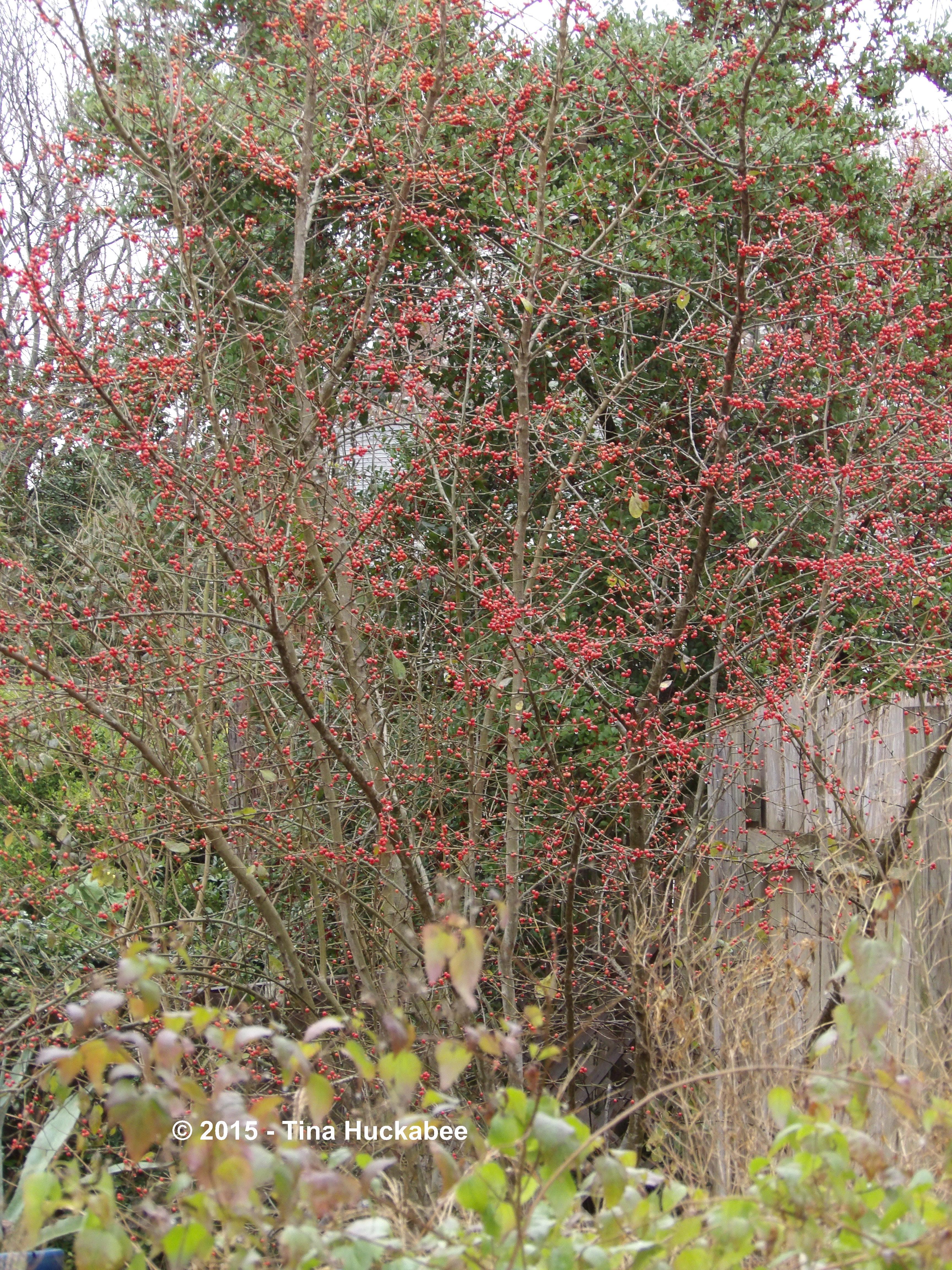 Native Texas Trees | My Gardener Says…