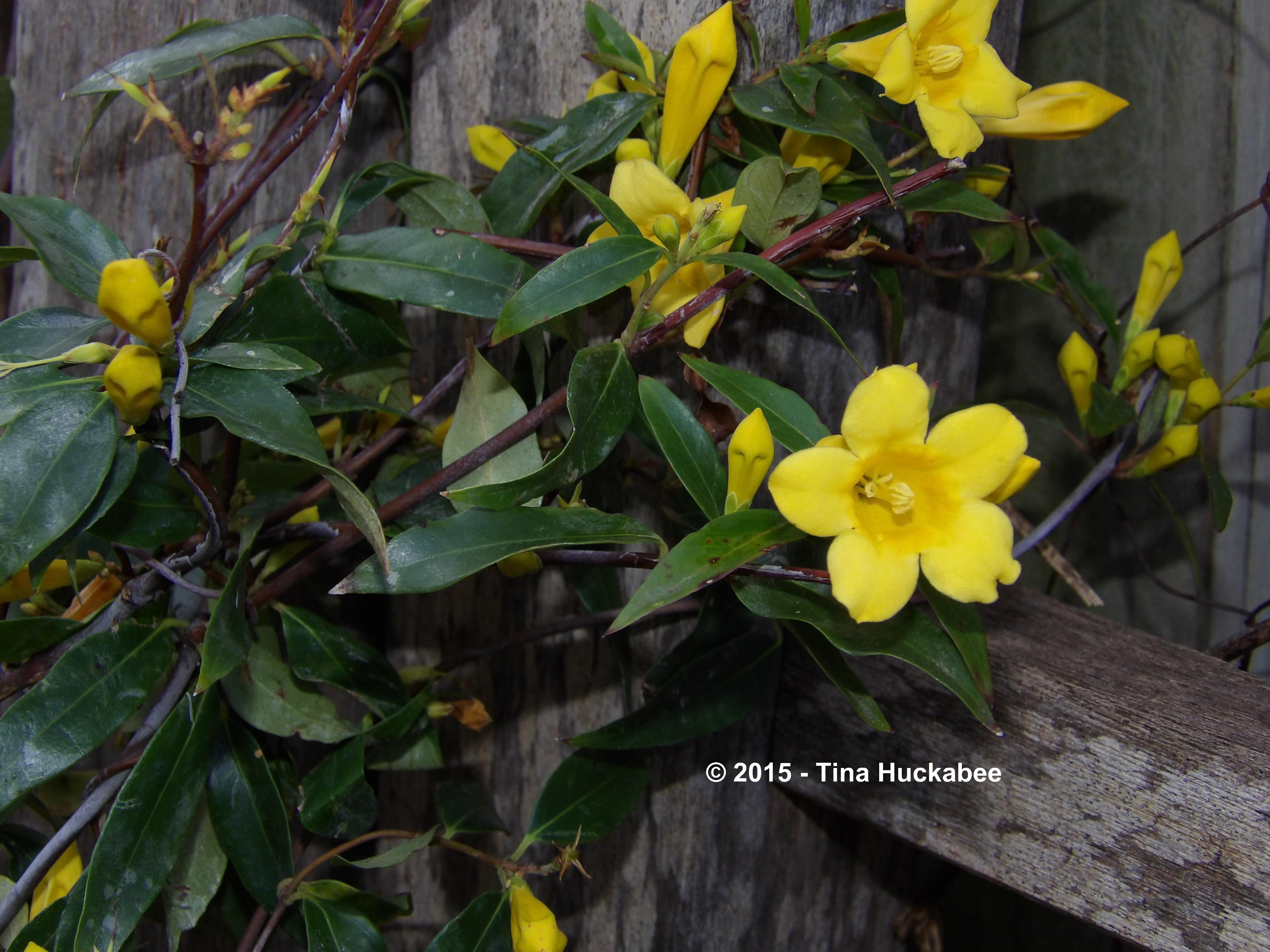 Carolina jessamine my gardener says imgp5956w izmirmasajfo