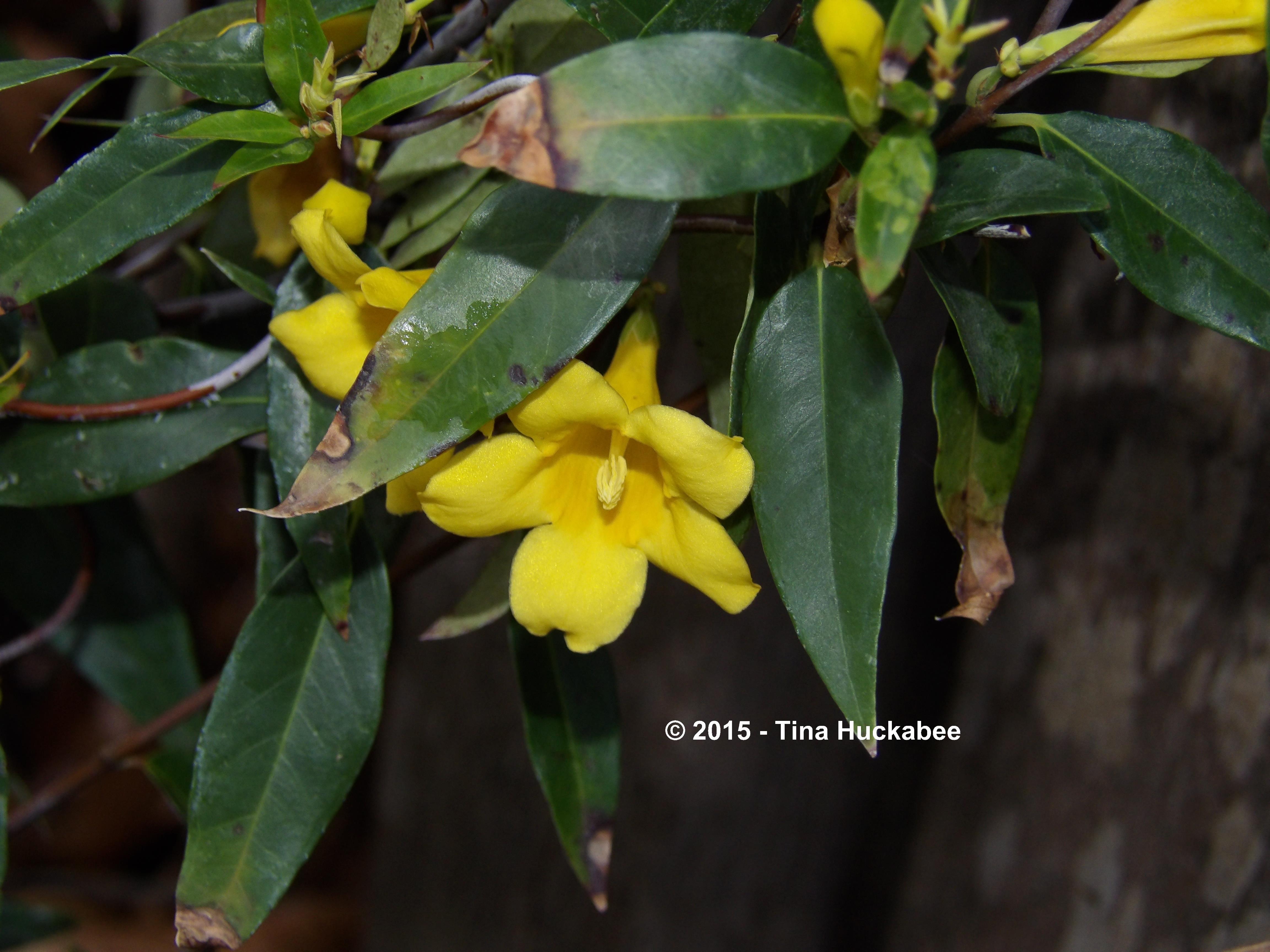 Carolina jessamine my gardener says imgp5957w izmirmasajfo