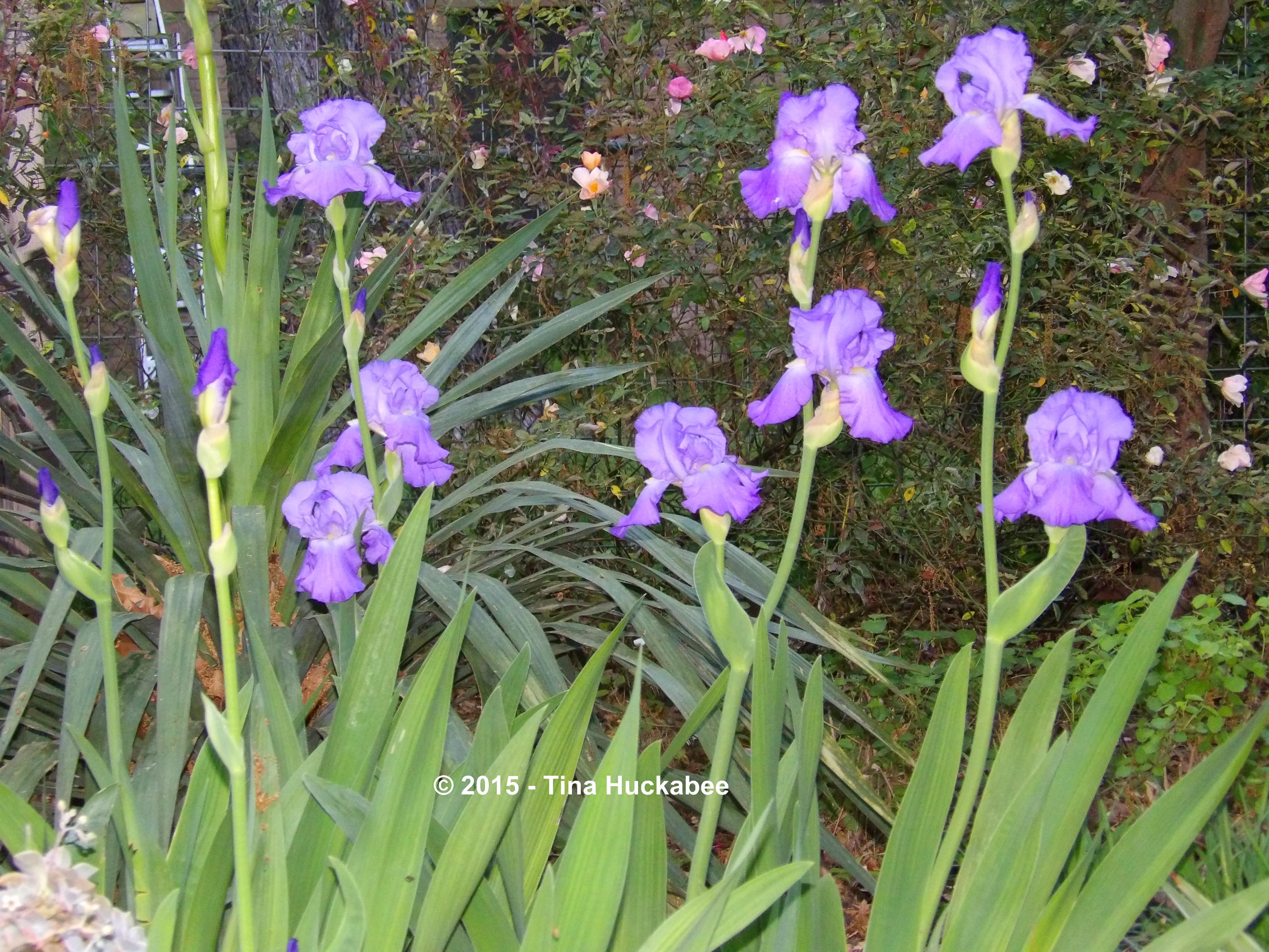 Spring garden my gardener says pam calls it shoshanas iris after my daughter shoshana who died suddenly in 2006 izmirmasajfo Images