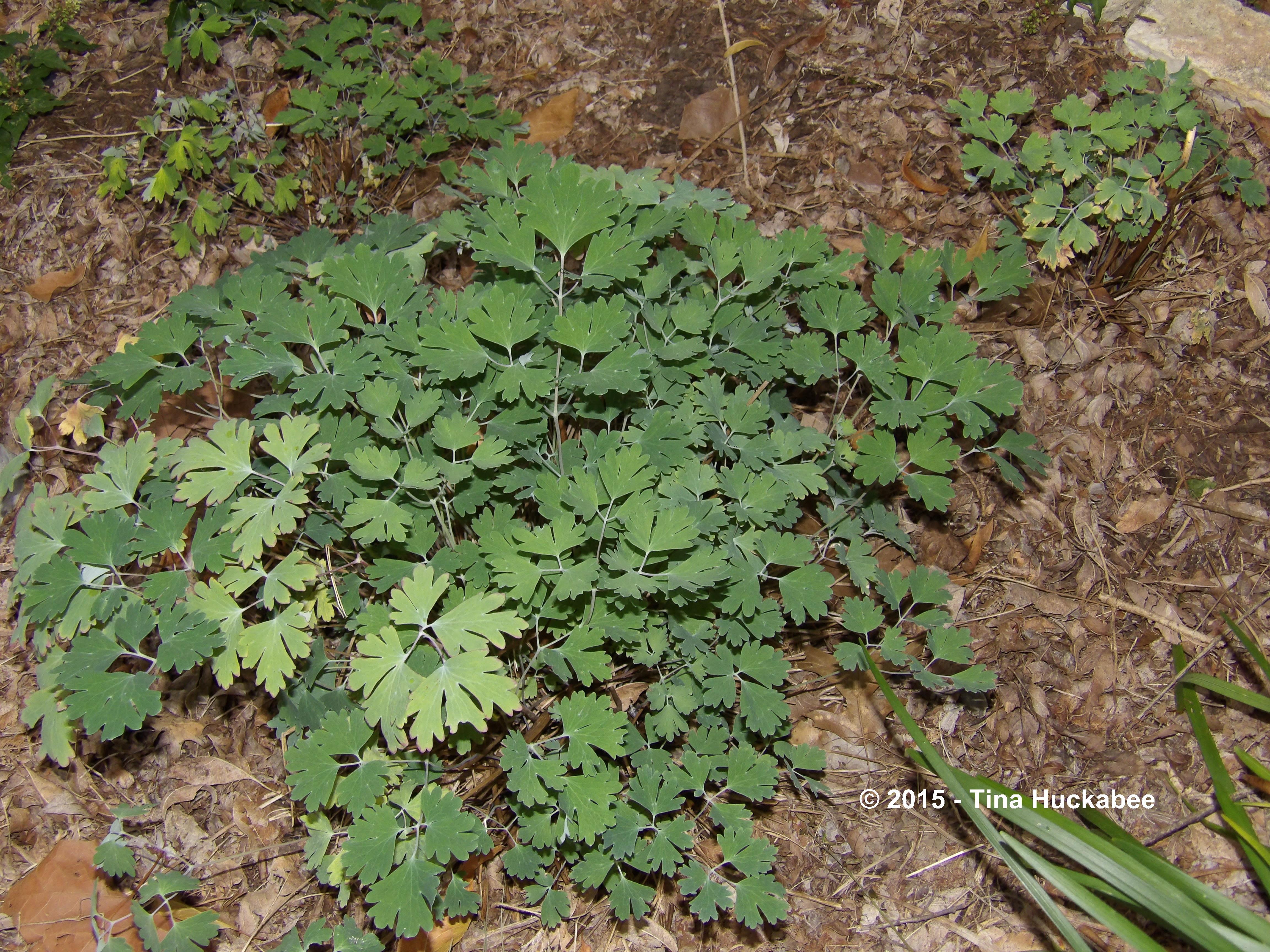 Columbine Aquilegia A Seasonal Look My Gardener Says