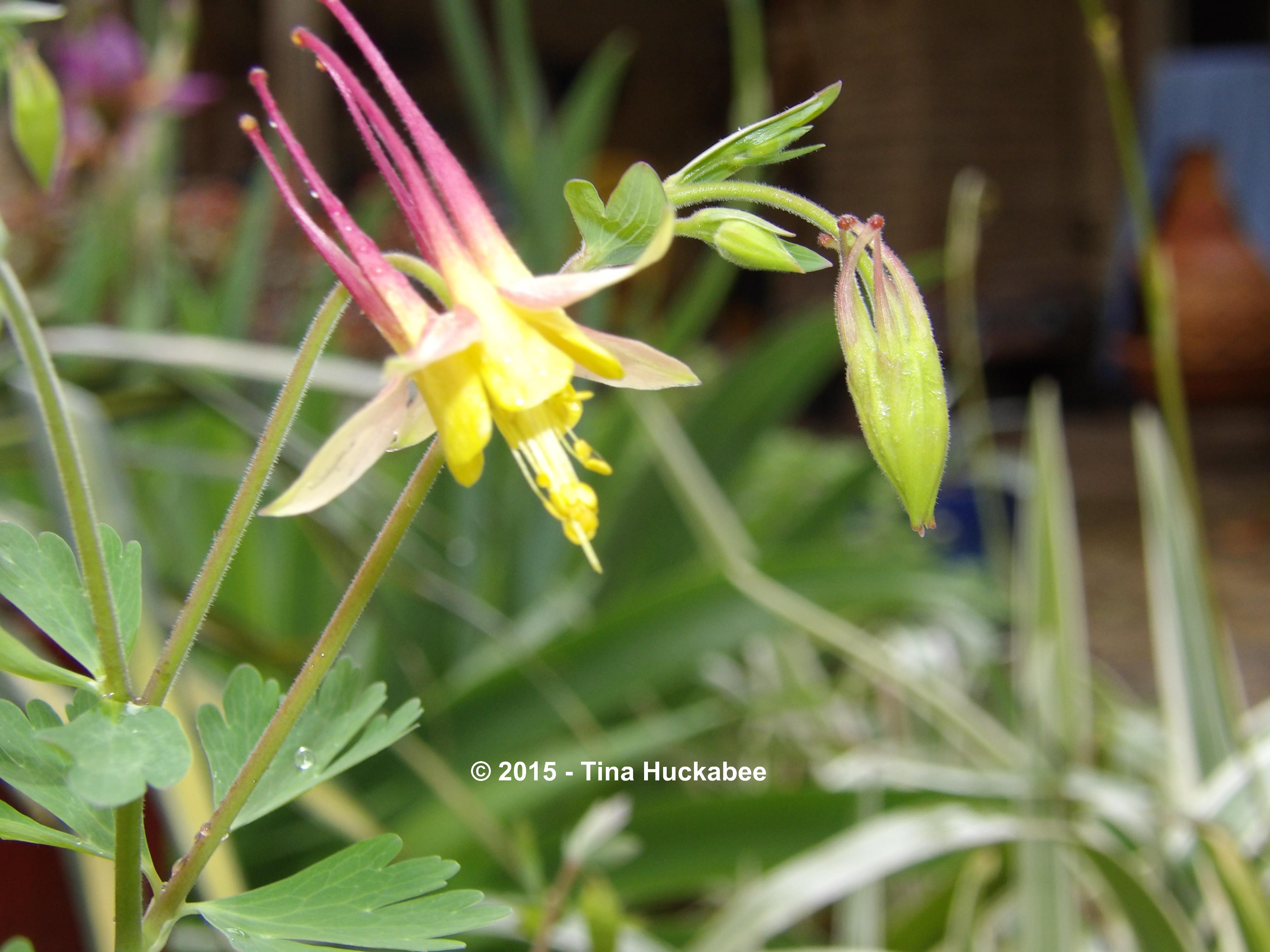 Columbine aquilegia a seasonal look my gardener says columbines are available by seed and in most texas nurseries in varying sized containers they are a valuable shade tolerant perennial in the texas garden izmirmasajfo