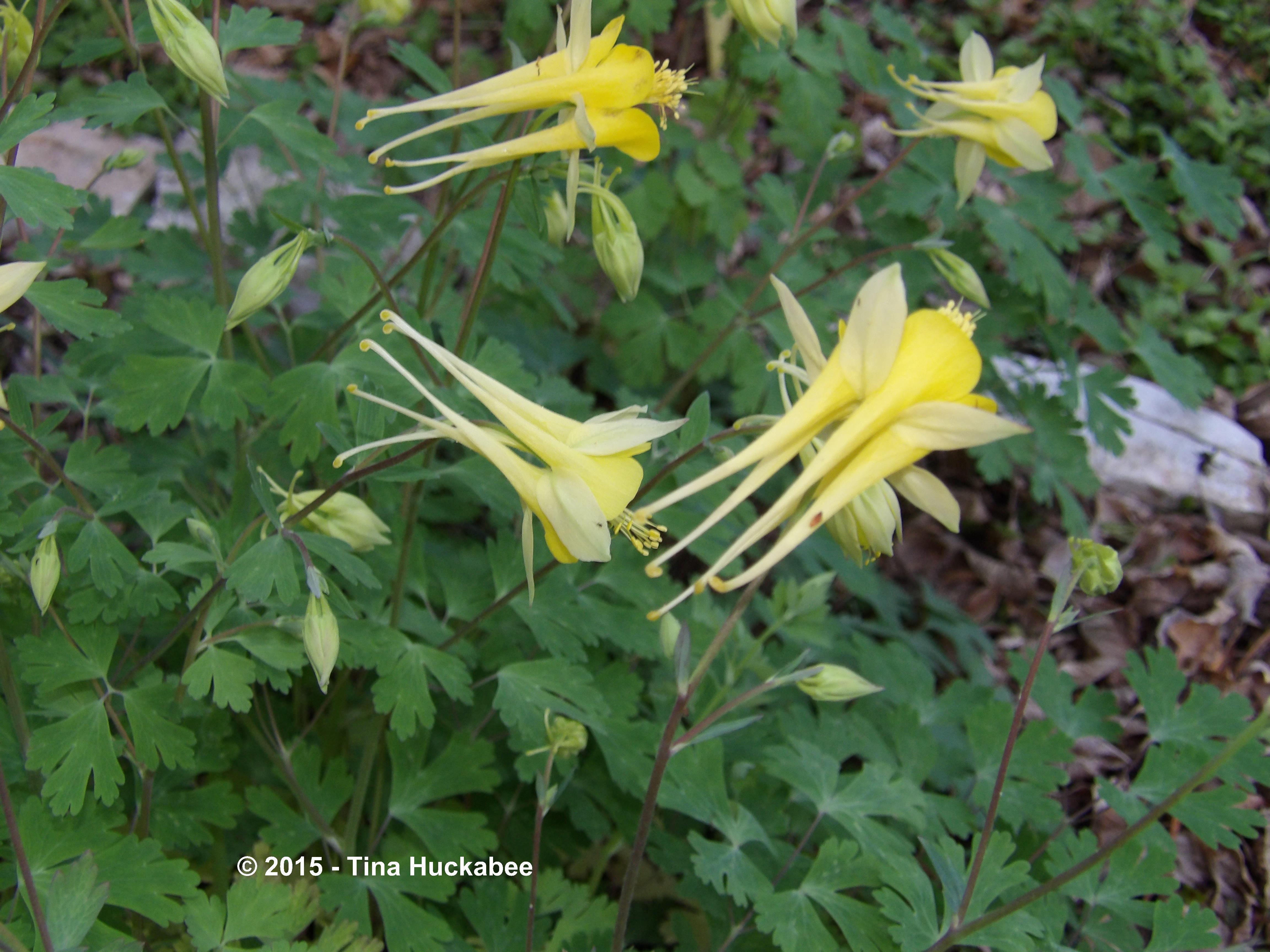 columbine aquilegia a seasonal look  my gardener says…, Beautiful flower