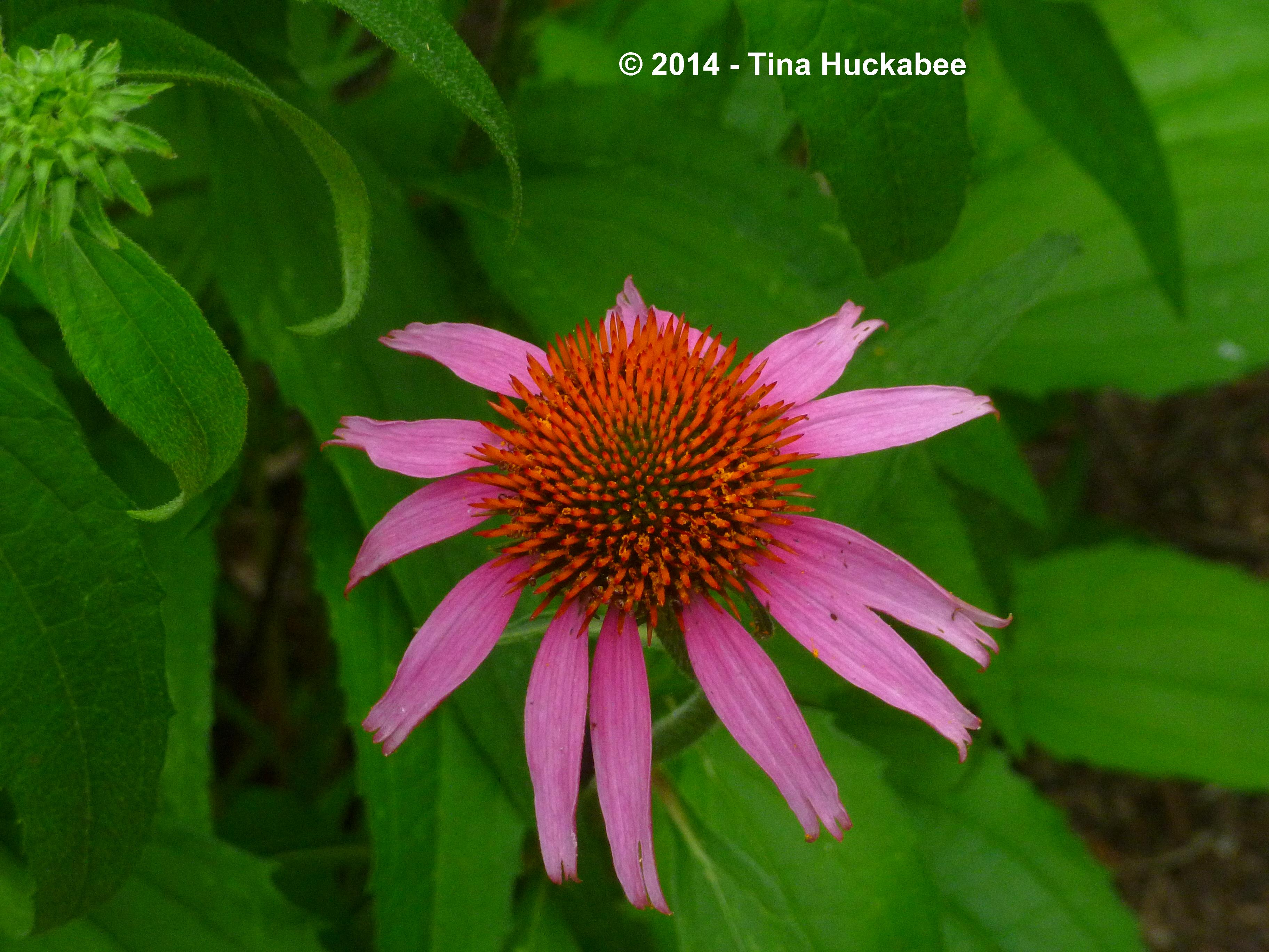 Purple Coneflower Echinacea Purpurea A Seasonal Look
