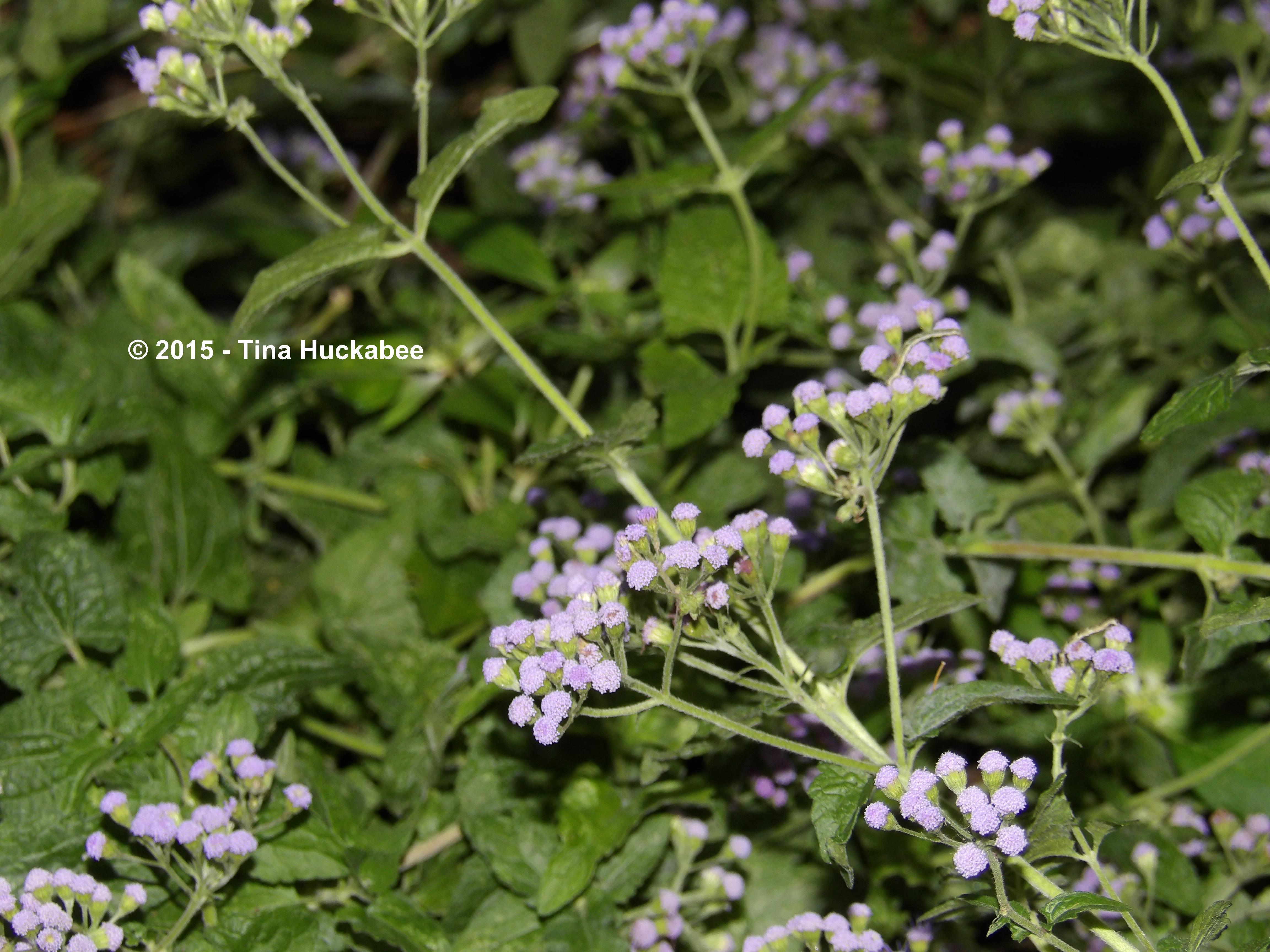 Blue Mistflower Conoclinium Coelestinum A Seasonal Look My