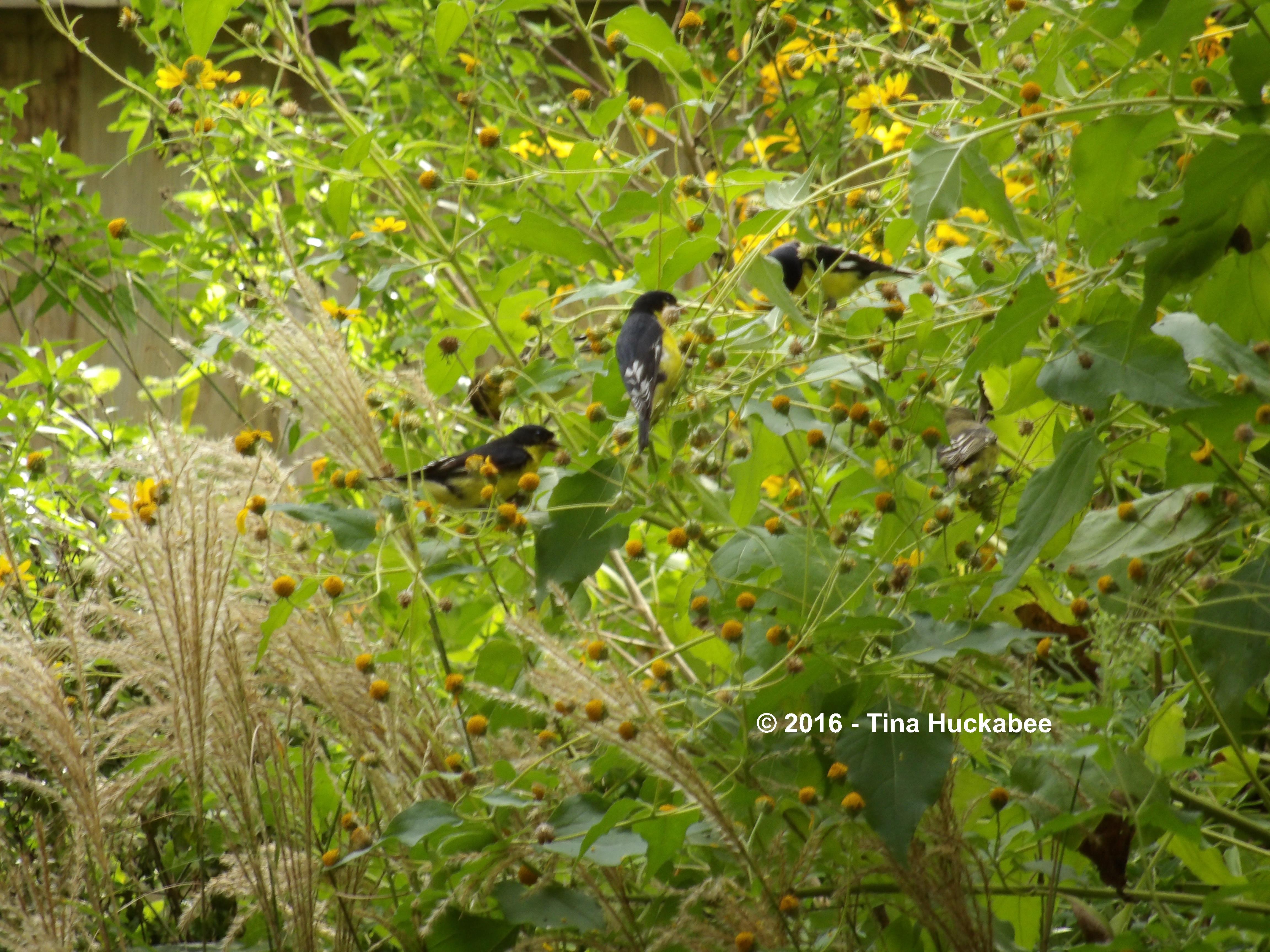 Male Lesser Goldfinches feeding on Goldeneye seeds.