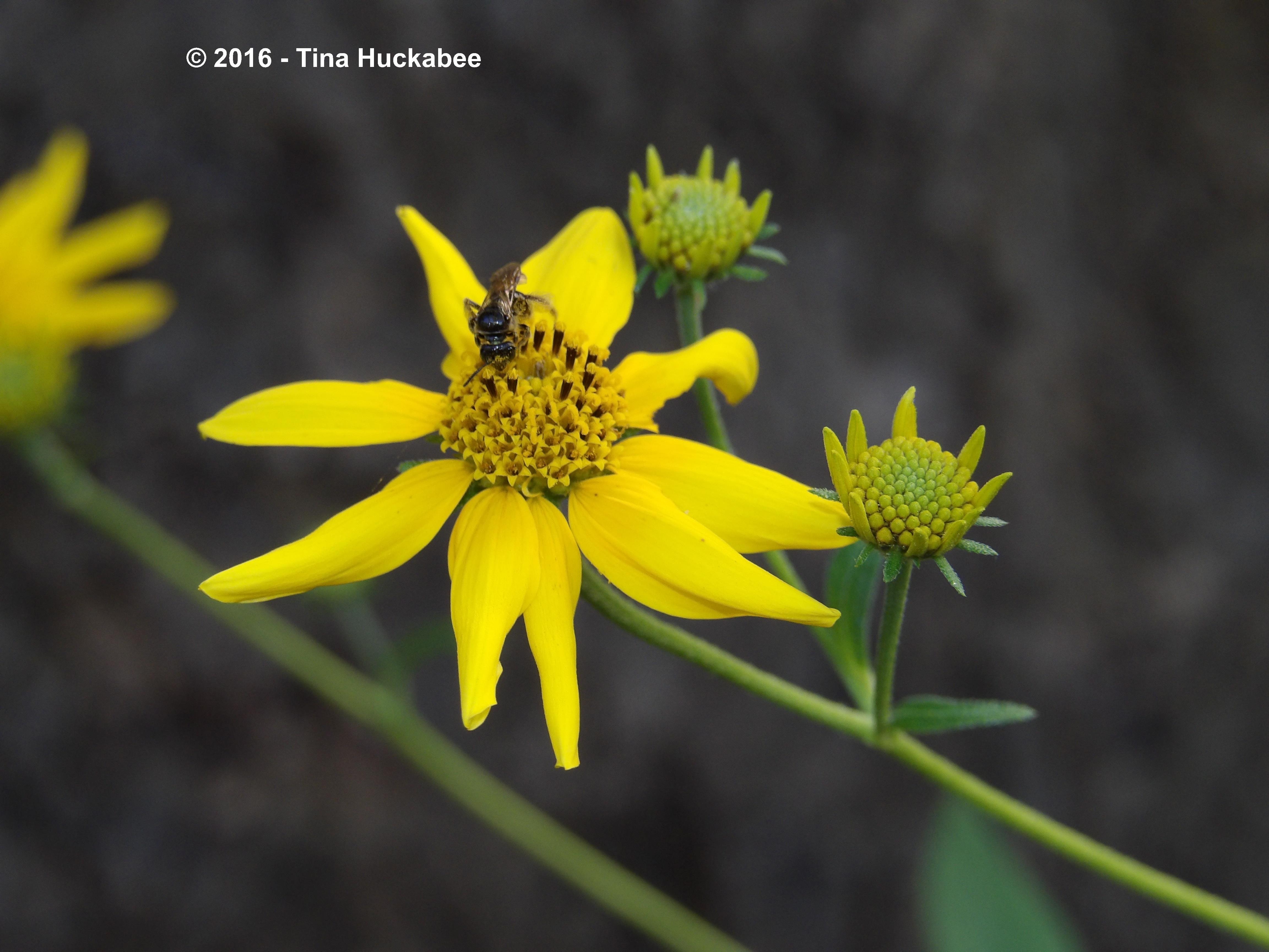 Small carpenter bee, Ceratina sp., working a Goldeneye bloom.
