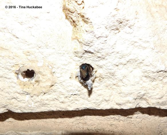 Osmia ribifloris (?), Megachilinae, sp. preparing nest in the mortar of the outside wall of a house.