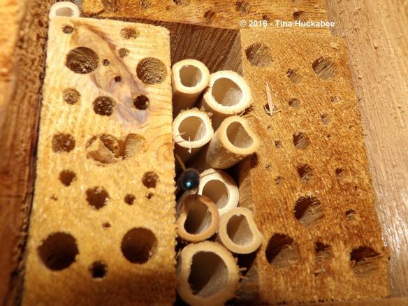 Osmia ribifloris (?), Megachilinae, sp. flying into an insect hotel, preparing nest.