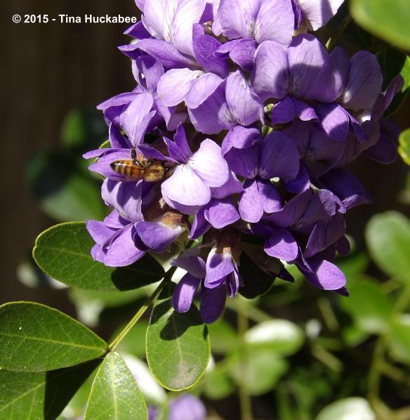 Honeybee working the blooms of a Sophora secundiflora, Texas Mountain Laurel.