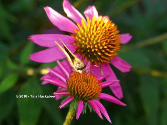 Skipper nectaring at Echinacea purpurea, Purple Coneflower.