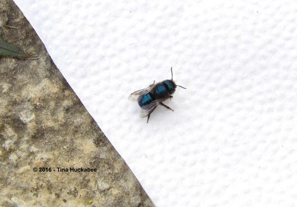 Wayward Osmia ribifloris rescued from my kitchen.
