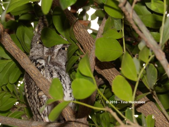 Daddy Screech Owl resting and watching in the Texas Mountain Laurel Tree.