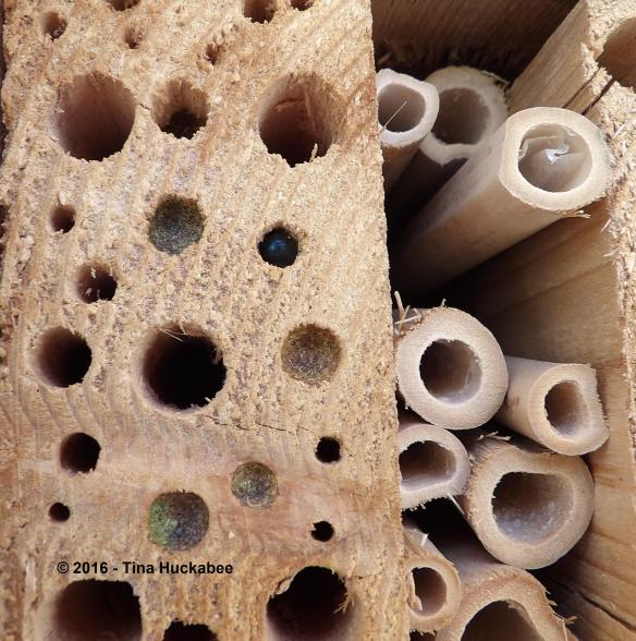 Some of the bee holes are filled providing protection and nourishment for the larvae.