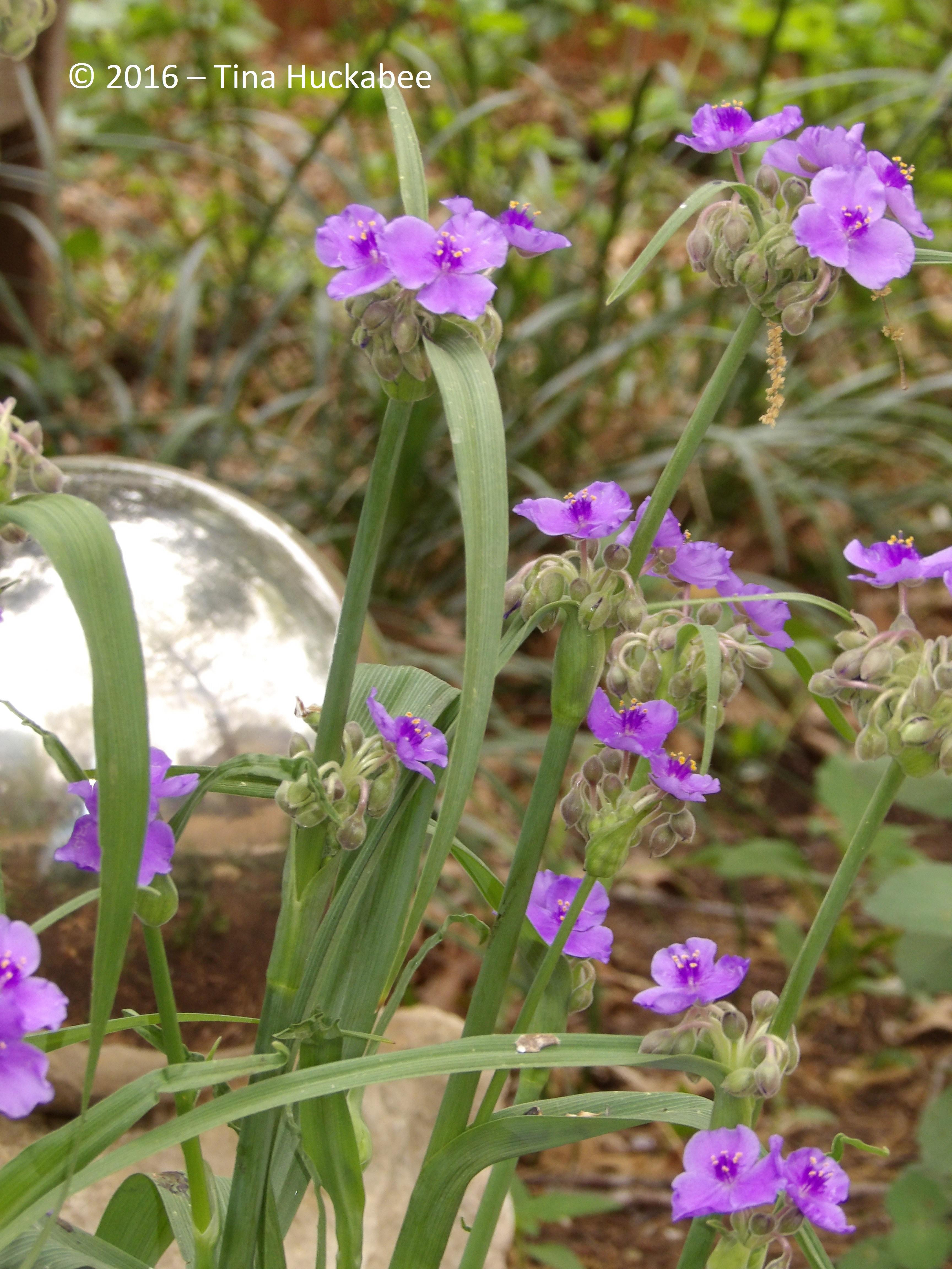 Giant Spiderwort (Tradescantia gigantea)