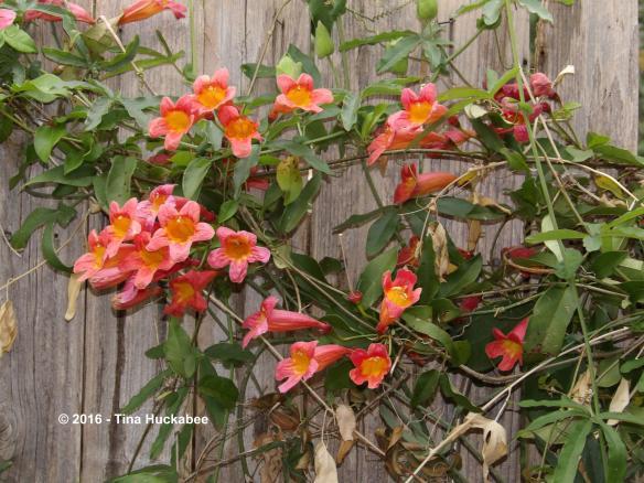 Crossvine (Bignonia capreolata) opens its tubular blooms