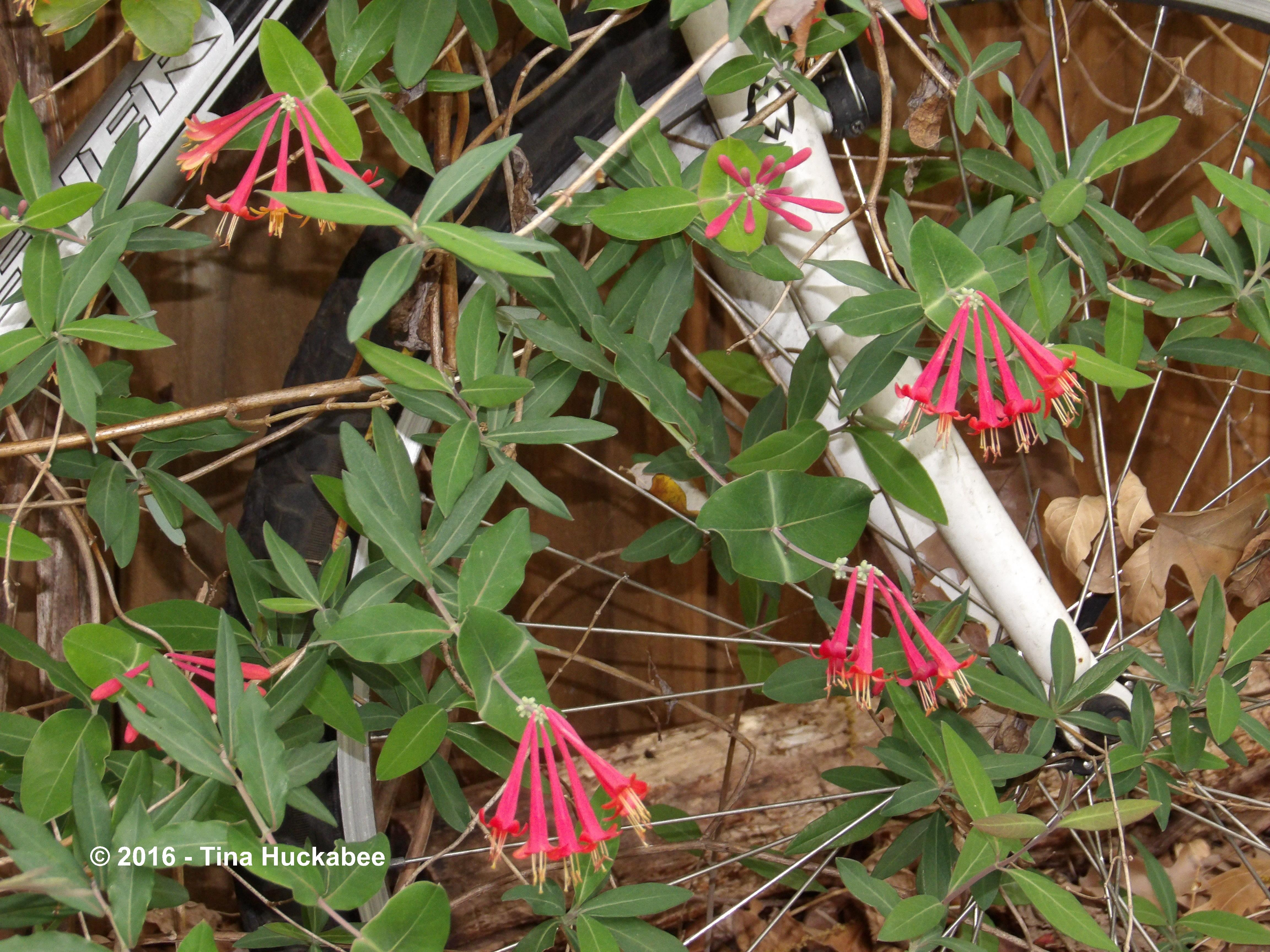 Coral Honeysuckle (Lonicera sempervirens) entwines and embraces Shoshana's bicycle.