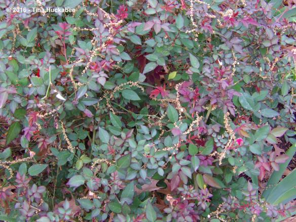 Catkins drape over a Martha Gonzales Rose bush.