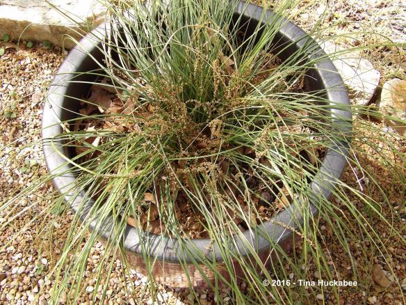 Oak catkins atop a potted Texas Beargrass (Nolina texana)
