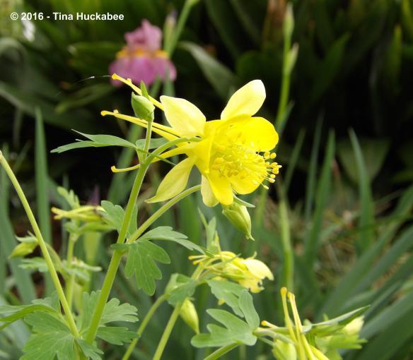 Yellow Columbine with blooming Iris.
