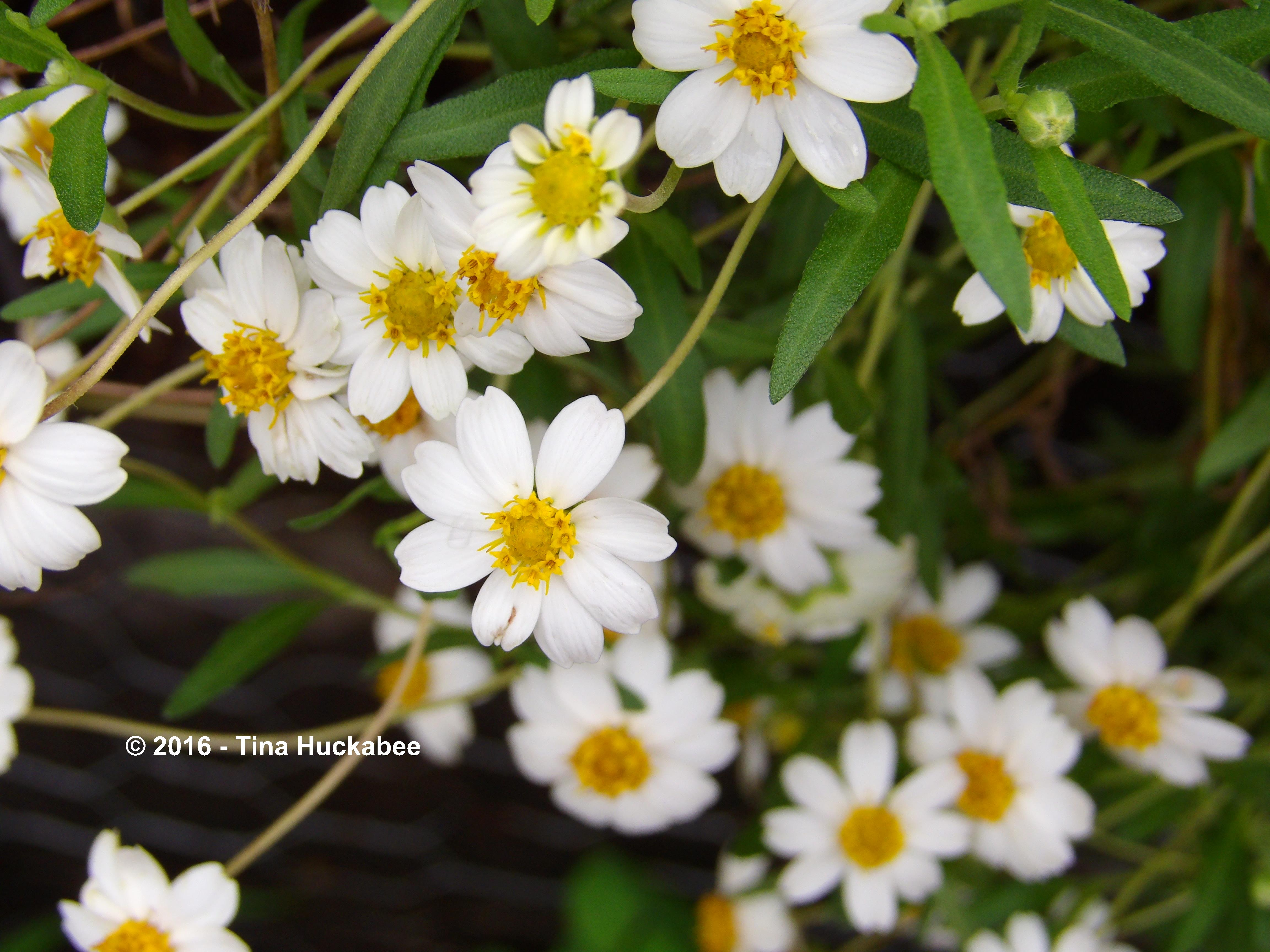 Blackfoot Daisy My Gardener Says