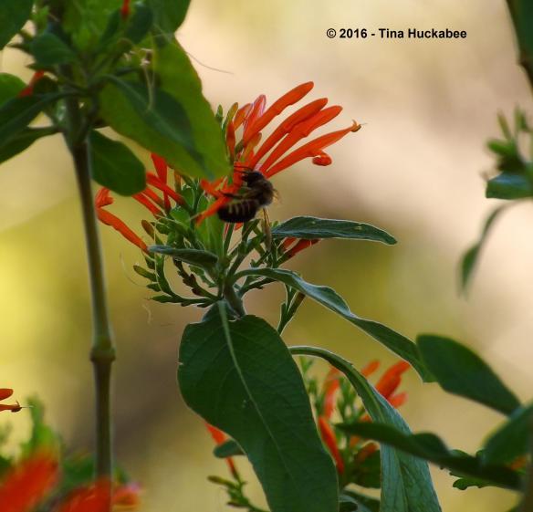 Horsefly-like Carpenter Bee (Xylocopa tabaniformis) works the Mexican Honeysuckle flowers.