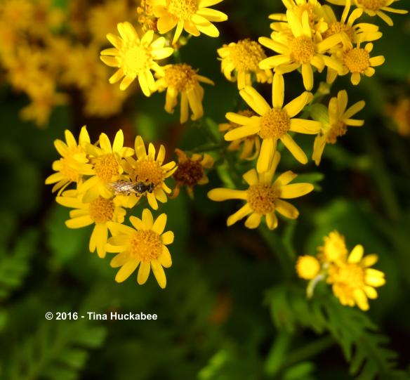 Sweat bee, Lasioglossum spp., at the Golden Groundsel blooms.