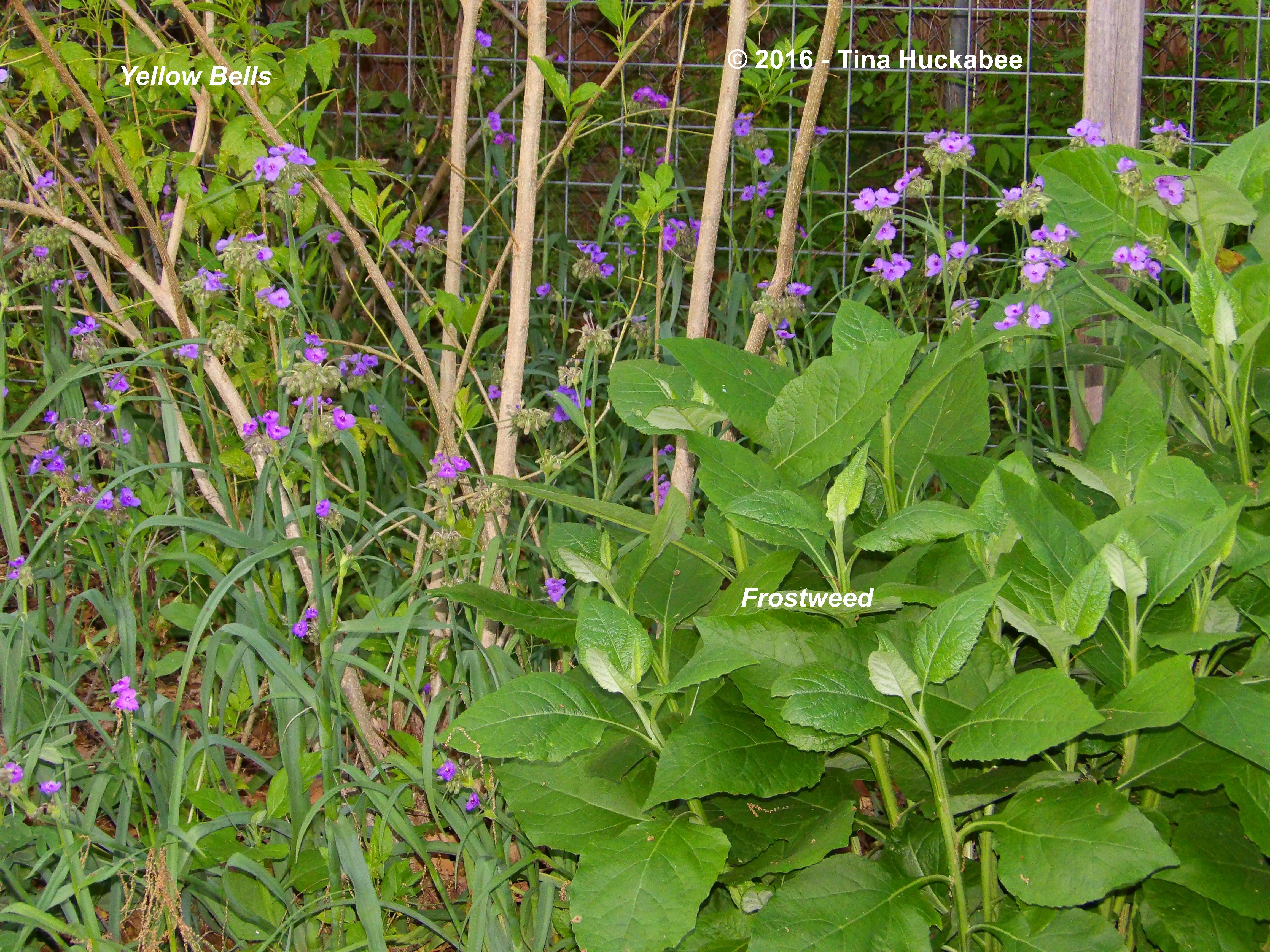 A Ballyhoo For Spiderwort My Gardener Says