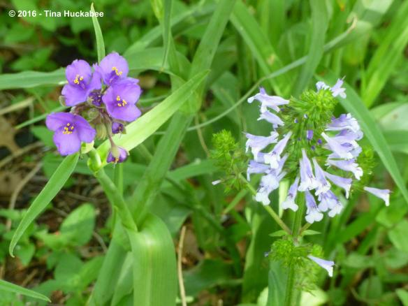Spiderwort in blooming tandem with Lyreleaf sage, Salvia lyrata.