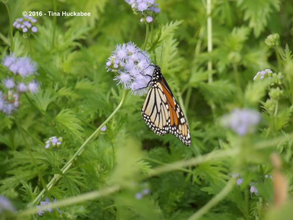 Monarch butterflies and their kin, Queen butterflies, LOVE Gregg's mistflower.