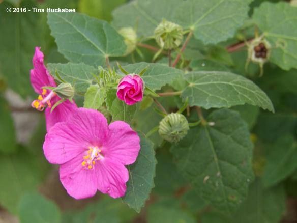 A native shrub with a long blooming cycle, Rock rose blooms from May to November. Best in sun, it also works well part-shade.