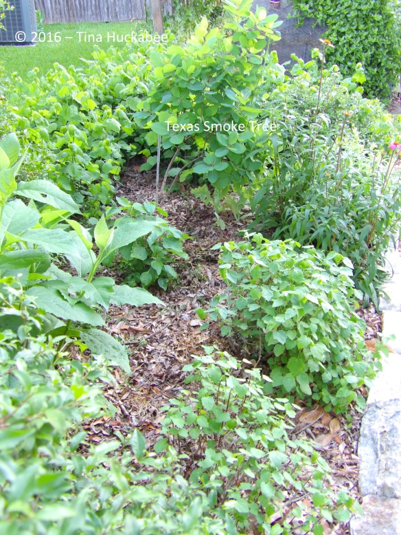 Along with the Smoke Tree are more Rock Rose, Turk's Cap, Goldeneye, Frostweed and Purple Coneflower.