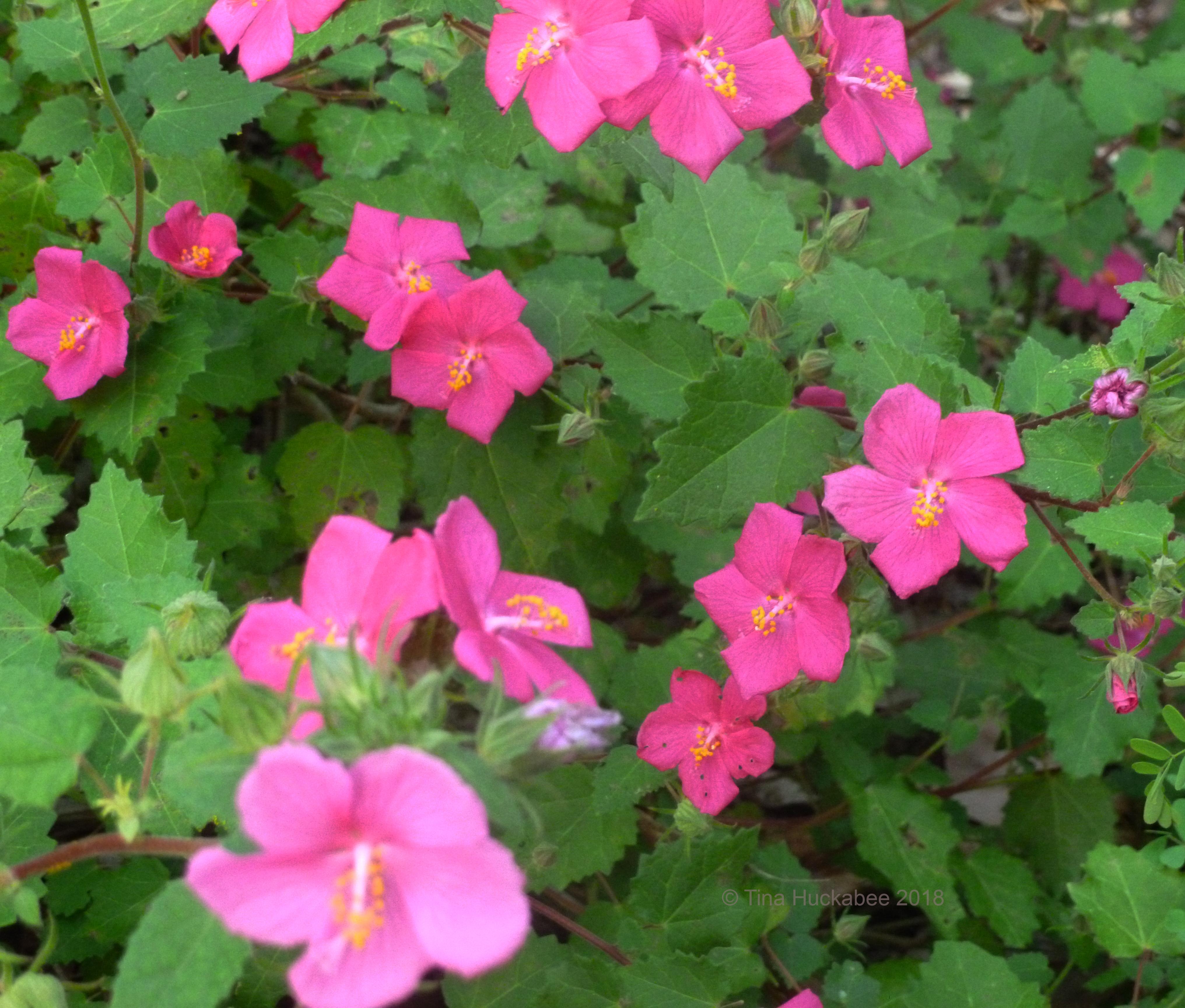Rock Rose My Gardener Says