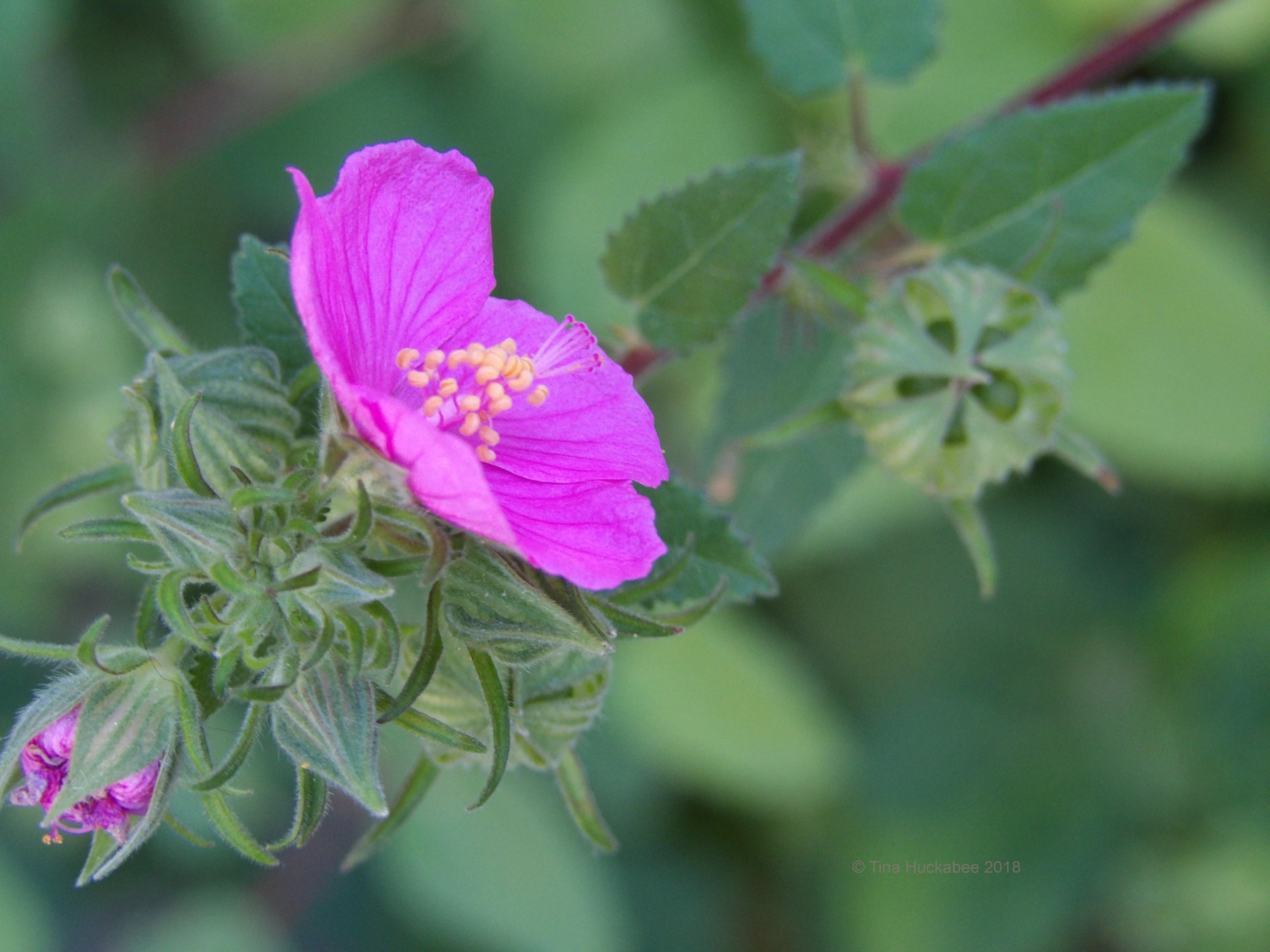Rock Rose Pavonia Lasiopetala A Seasonal Look My Gardener Says