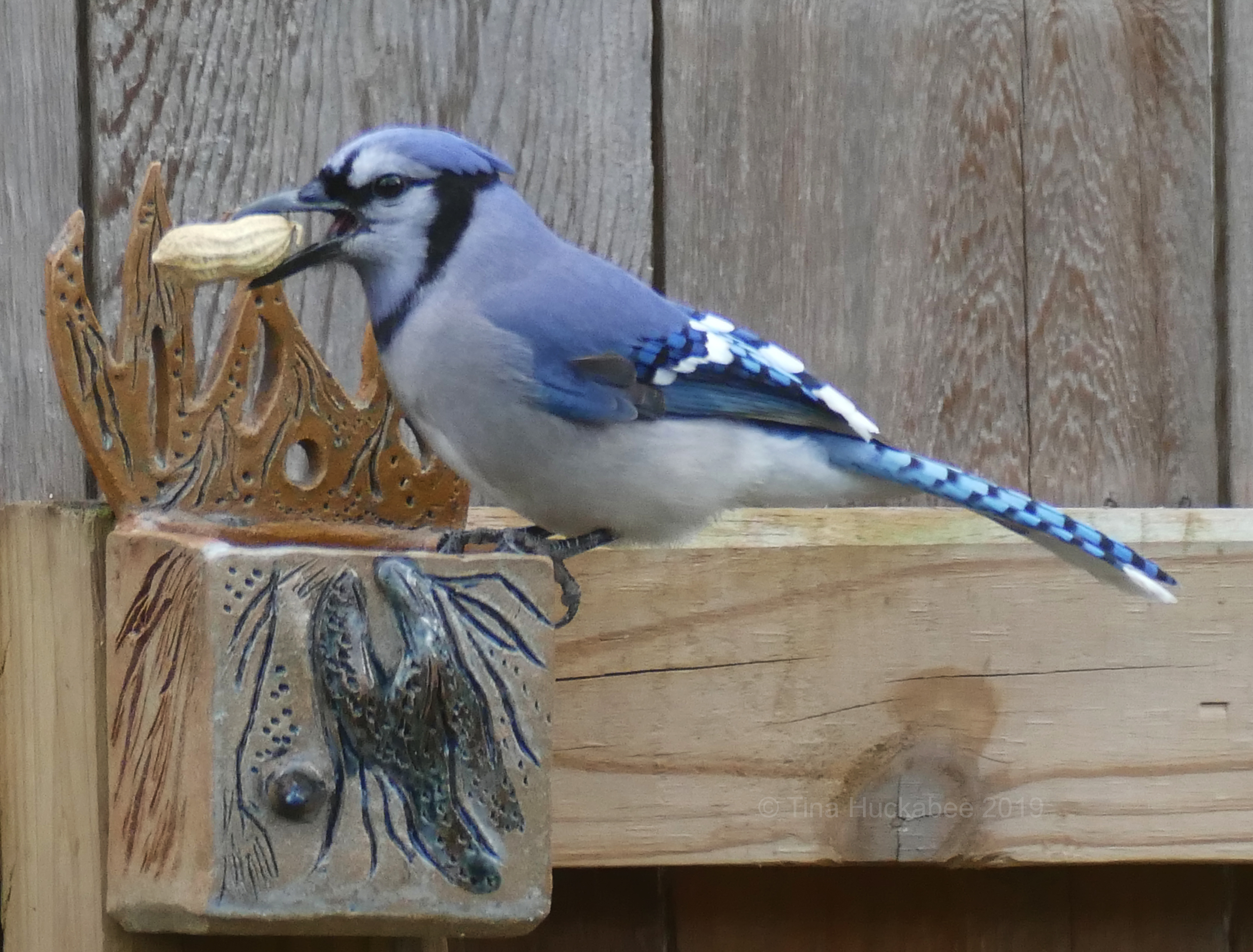 b6397c795 I've seen photos of Titmice and other birds enjoying unshelled peanuts, but  in my garden, it's only the Blue Jays who partake.